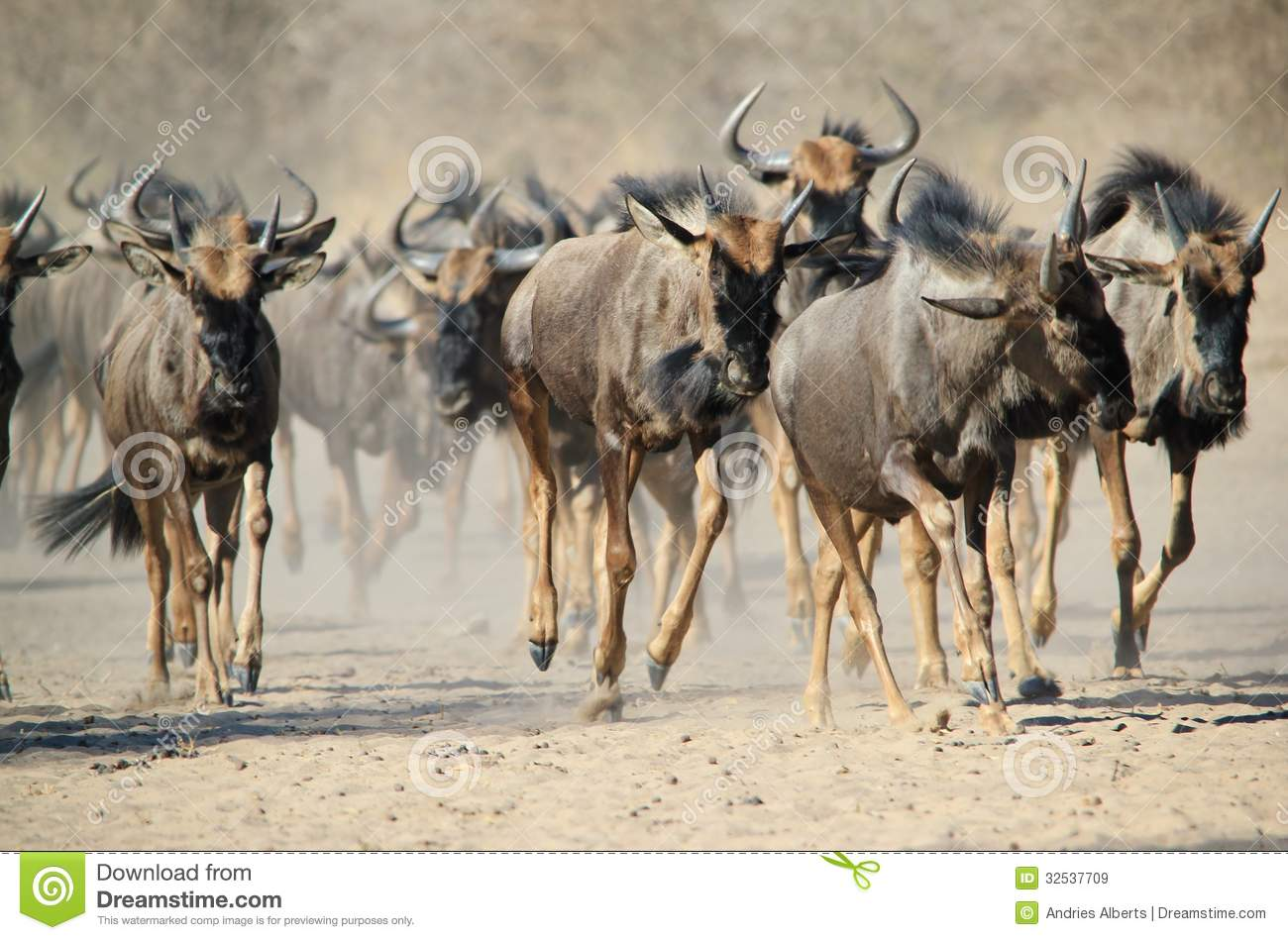 Blue Wildebeest Wildlife From Africa Stampede Of Hoof