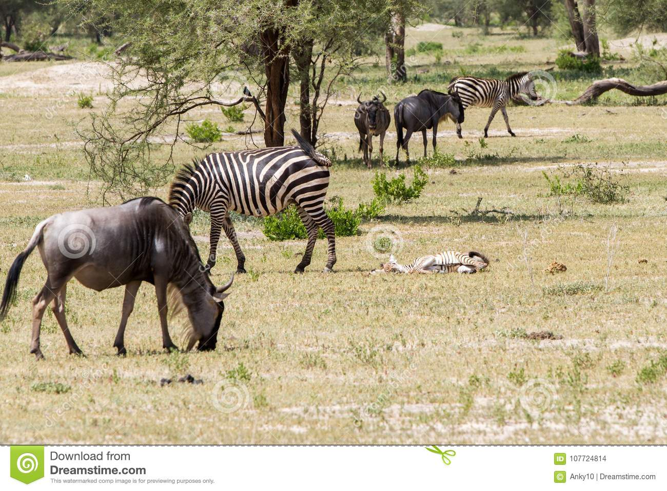 Blue wildebeest and zebras in the field