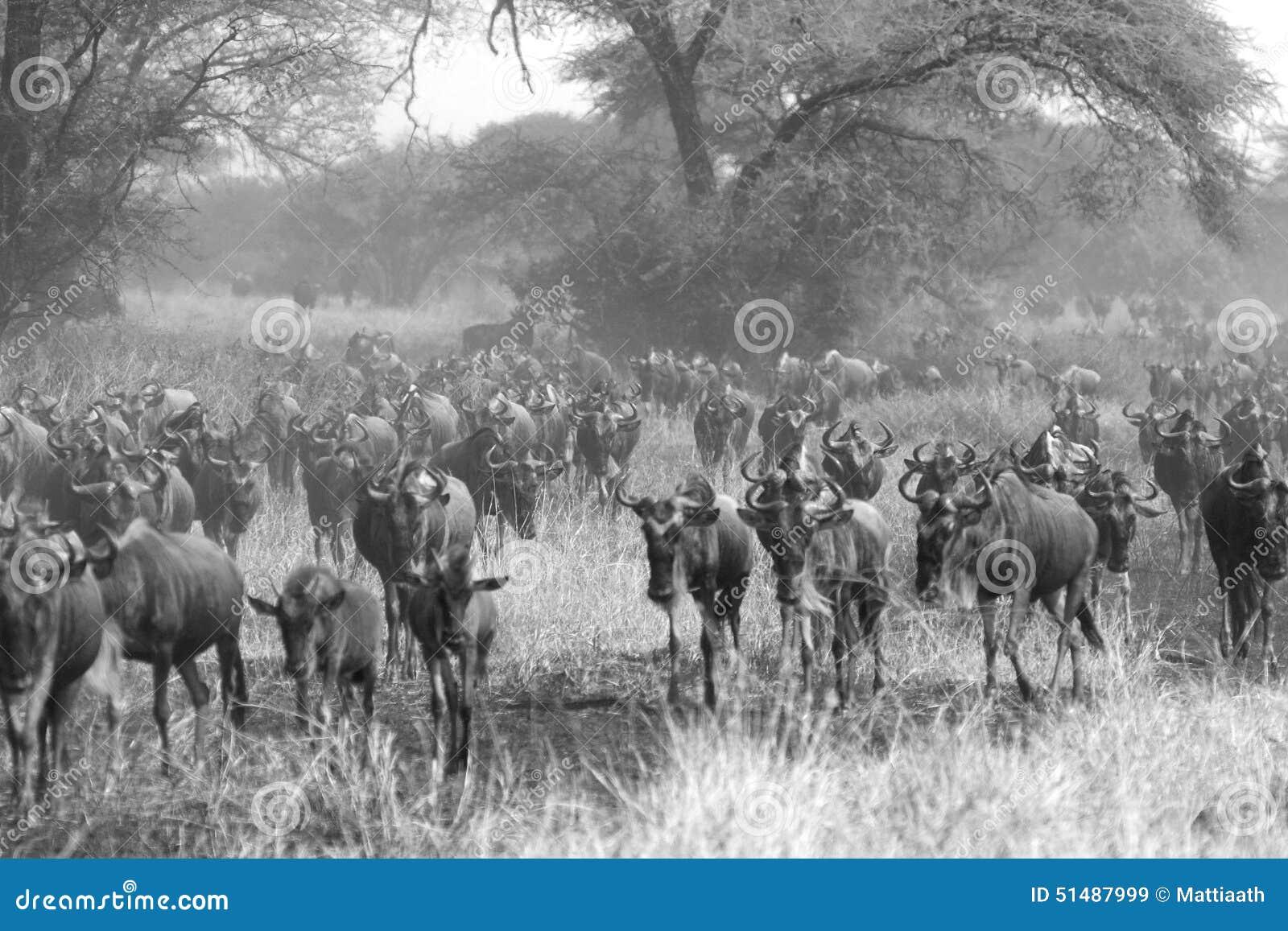 Ungulate Migration Blue Wildebeests Conno...