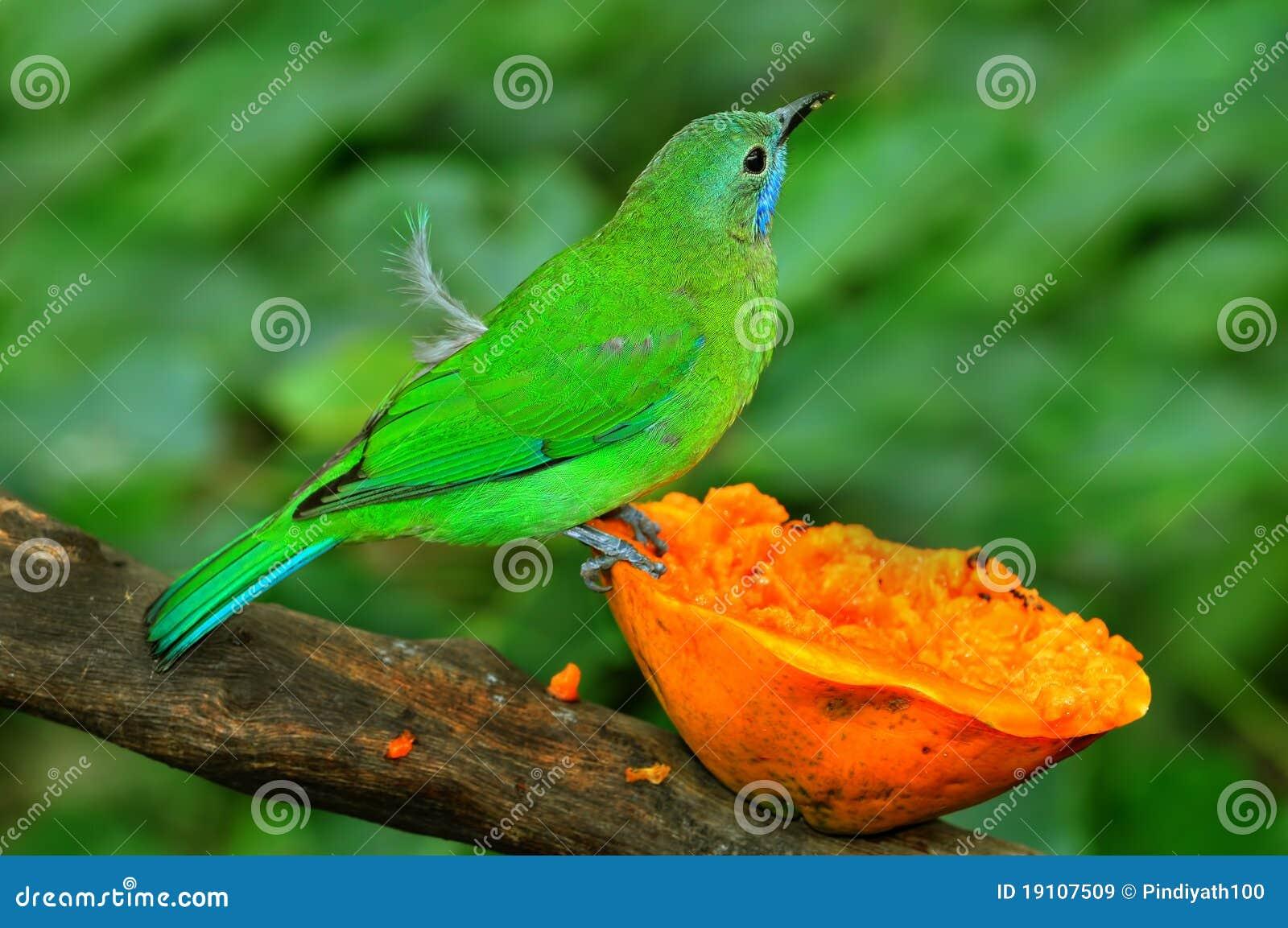 Leafbird blue-winged