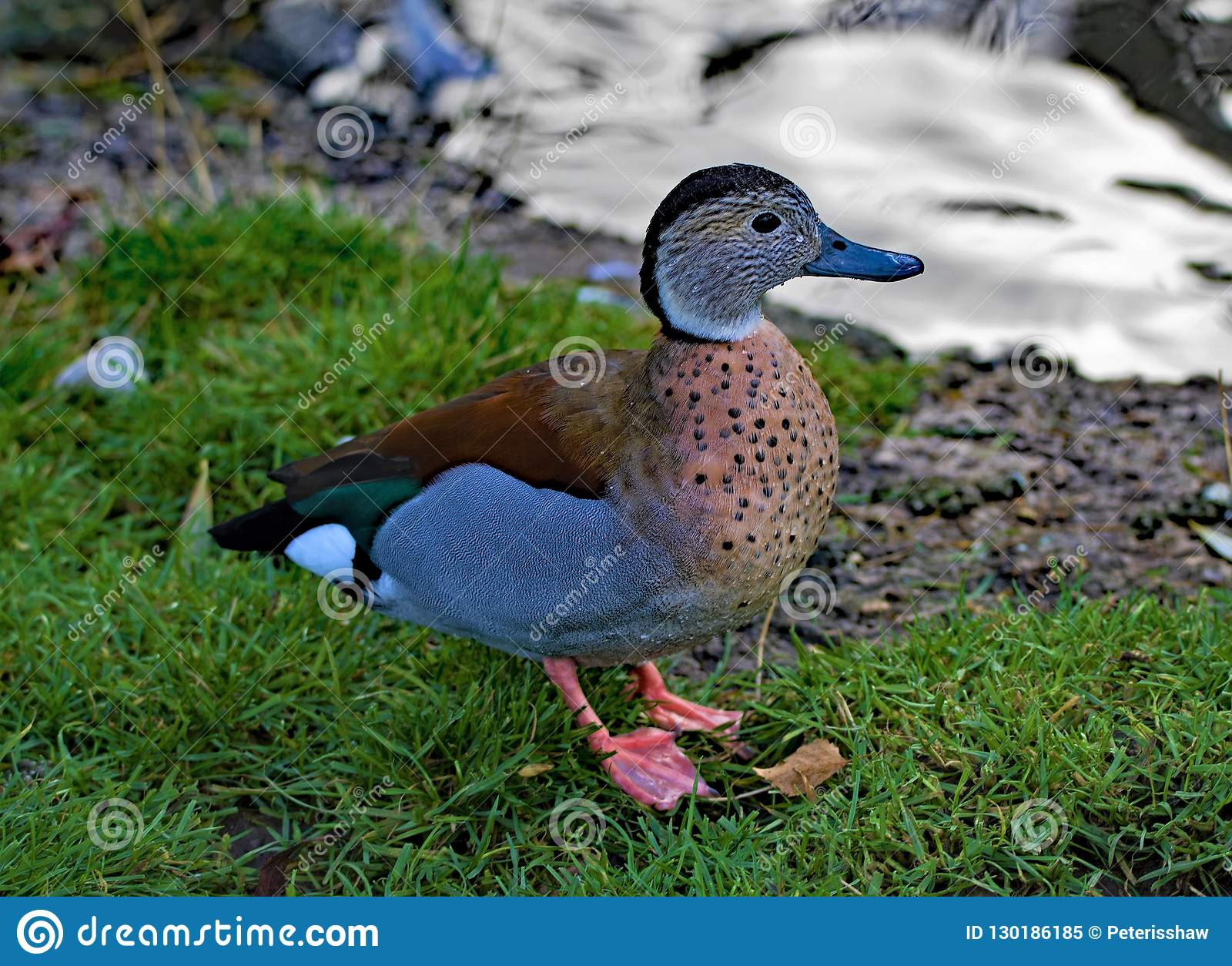 Blue winged teal, in North West wetlands.