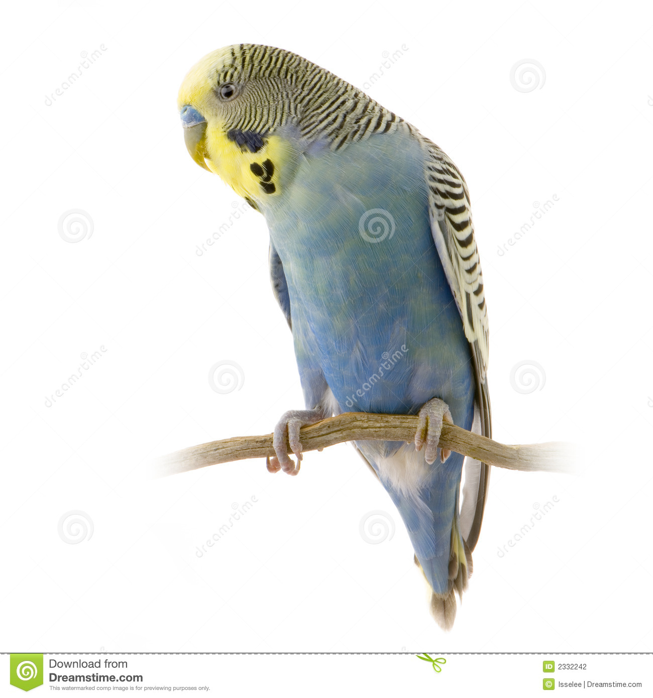 Blue and yellow budgie...