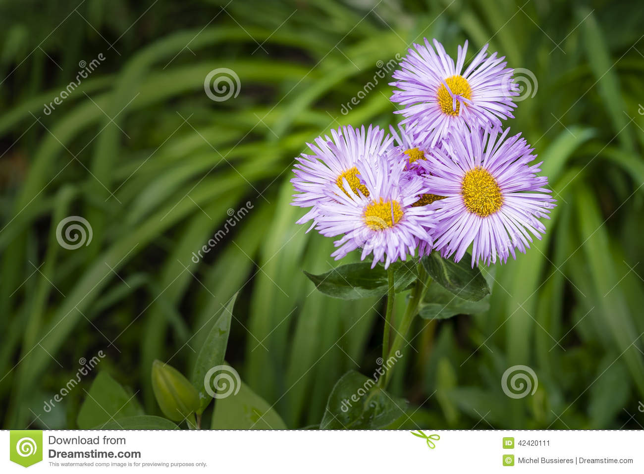 Blue And Yellow Daisy Flowers Stock Photo Image 42420111