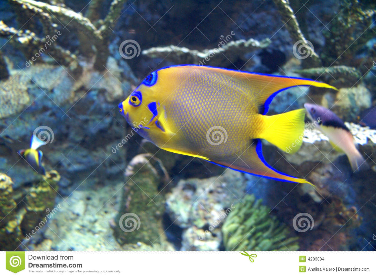 Blue Yellow Fish Stock Images Image 4283084