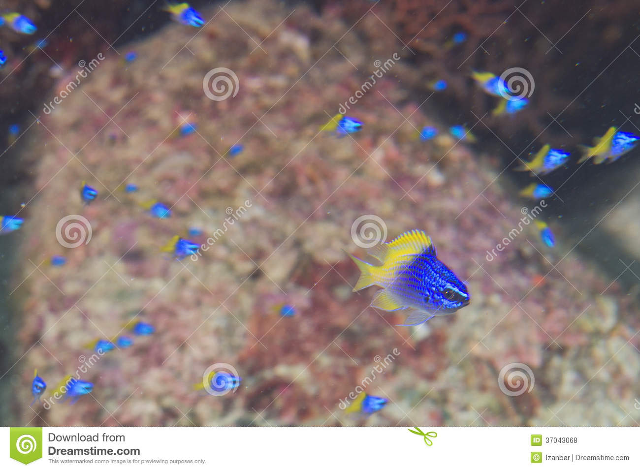 Blue and yellow fishes on Reef colorful underwater landscape