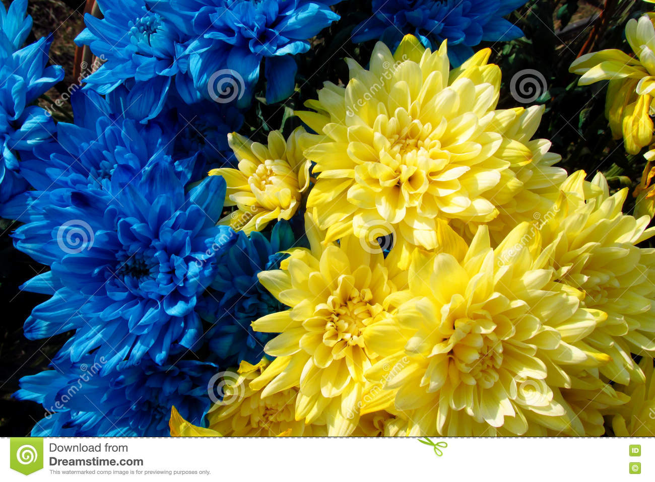 Blue And Yellow Flowers Colored Like Ukrainian National Flag Stock