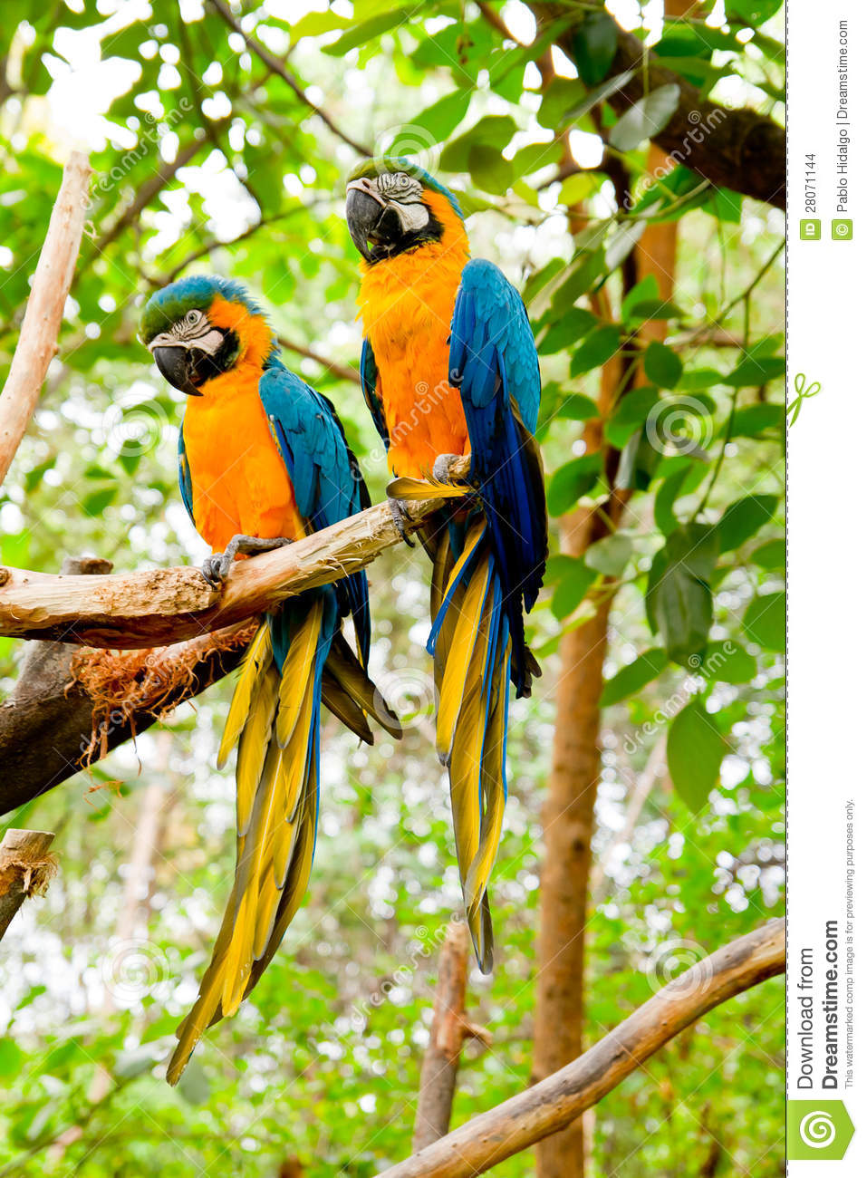blue and yellow macaw  ara ararauna  stock images image Scarlet Macaw Flying Clip Art Macaw Clip Art