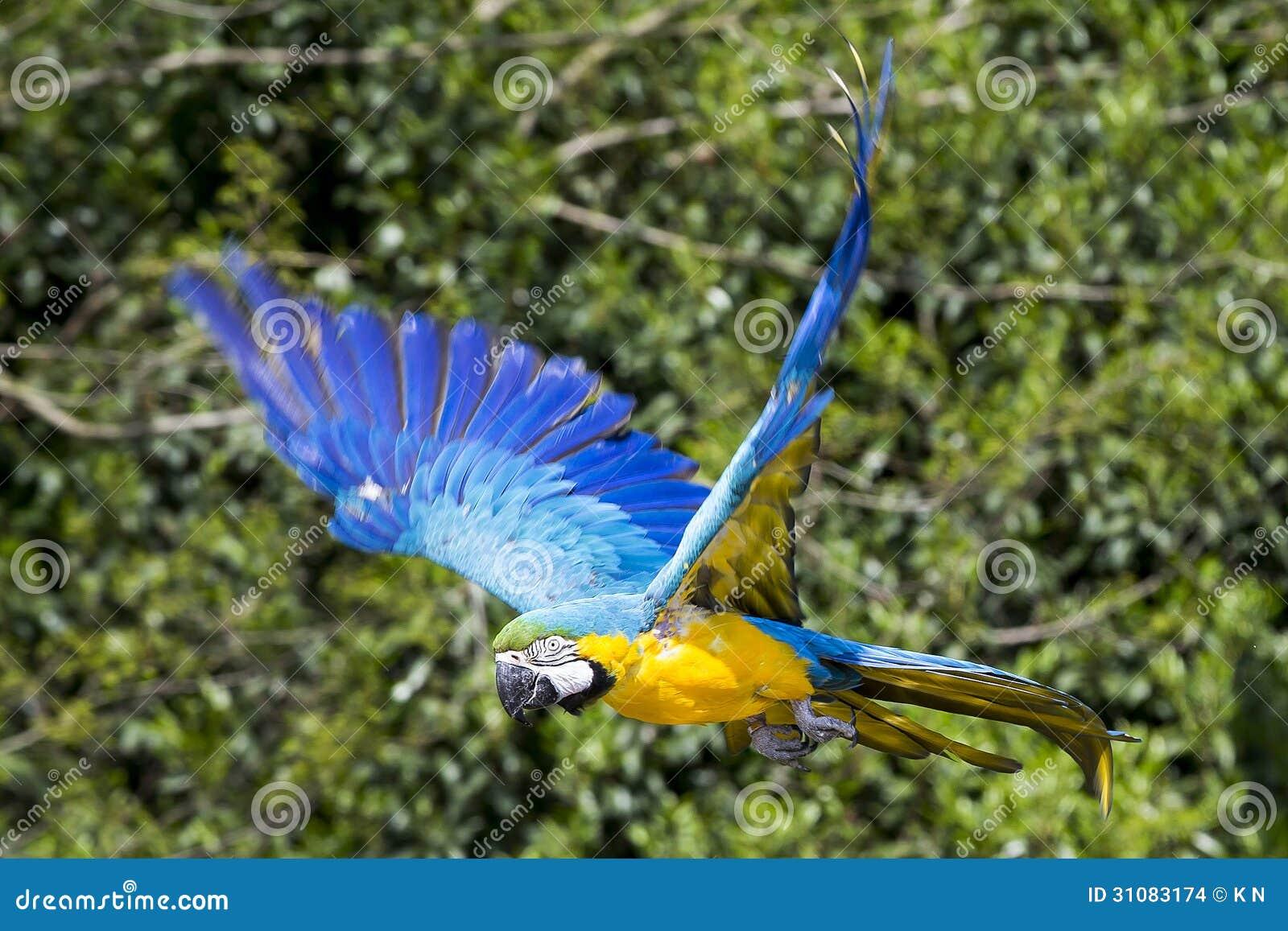 blue jay in flight - Google Search | Blue jay bird, Flying ... |Blue Macaw Parrot Flying