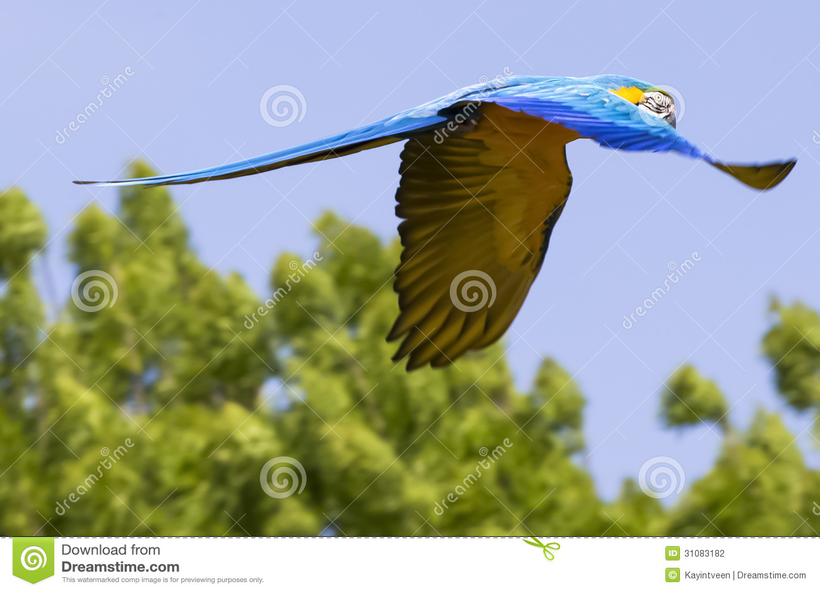 Blue yellow Macaw / Ara parrot in flight