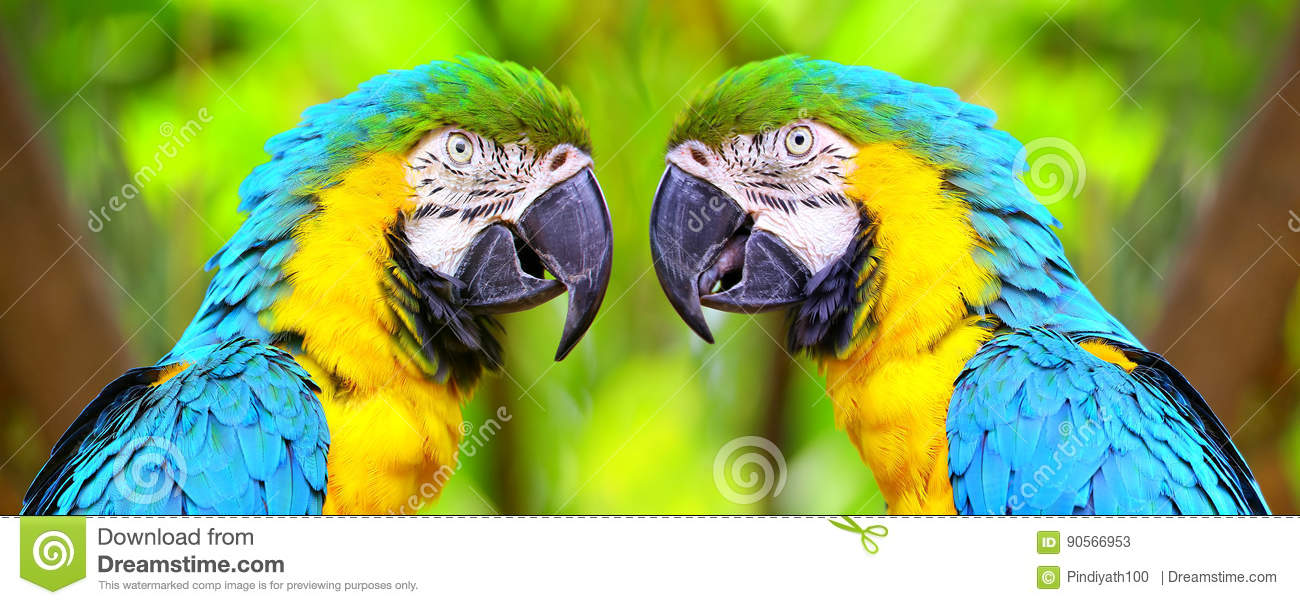 The blue and yellow macaw birds