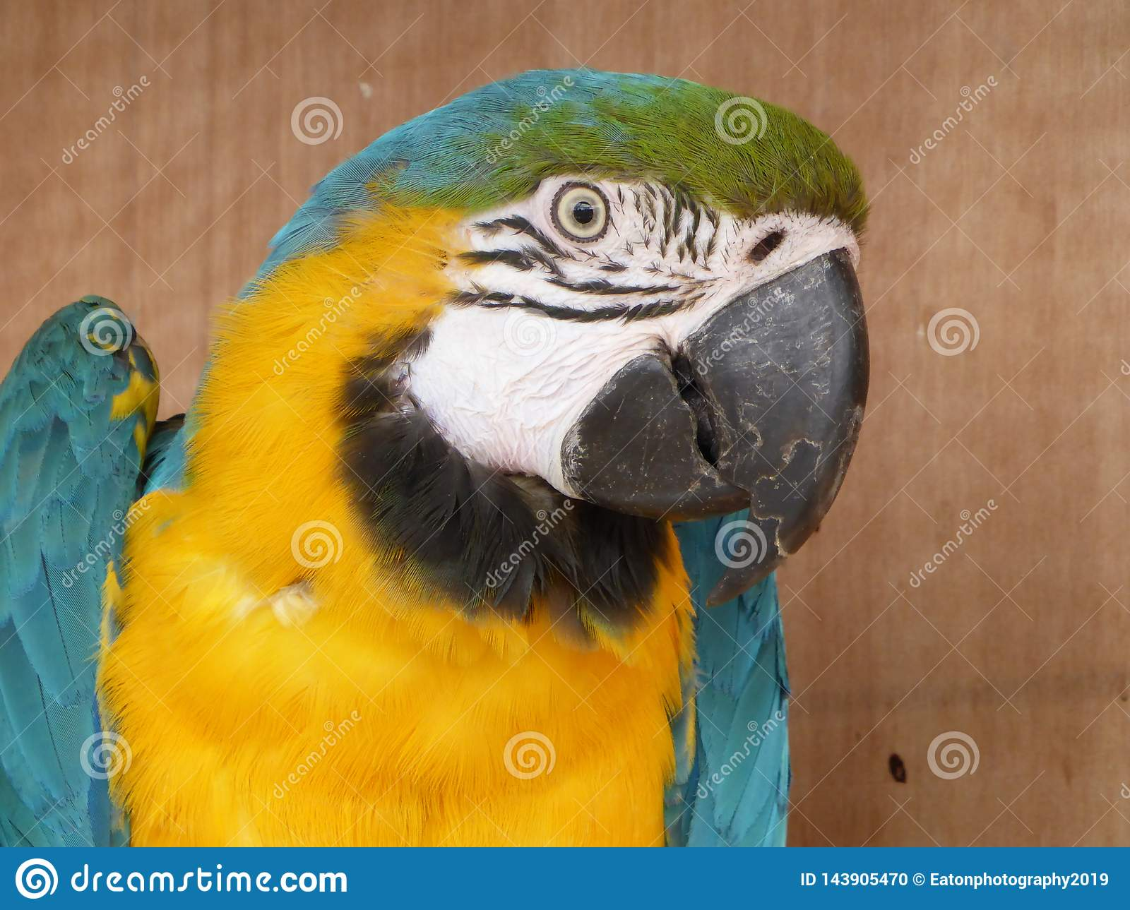 Blue and yellow macaw looking at the camera