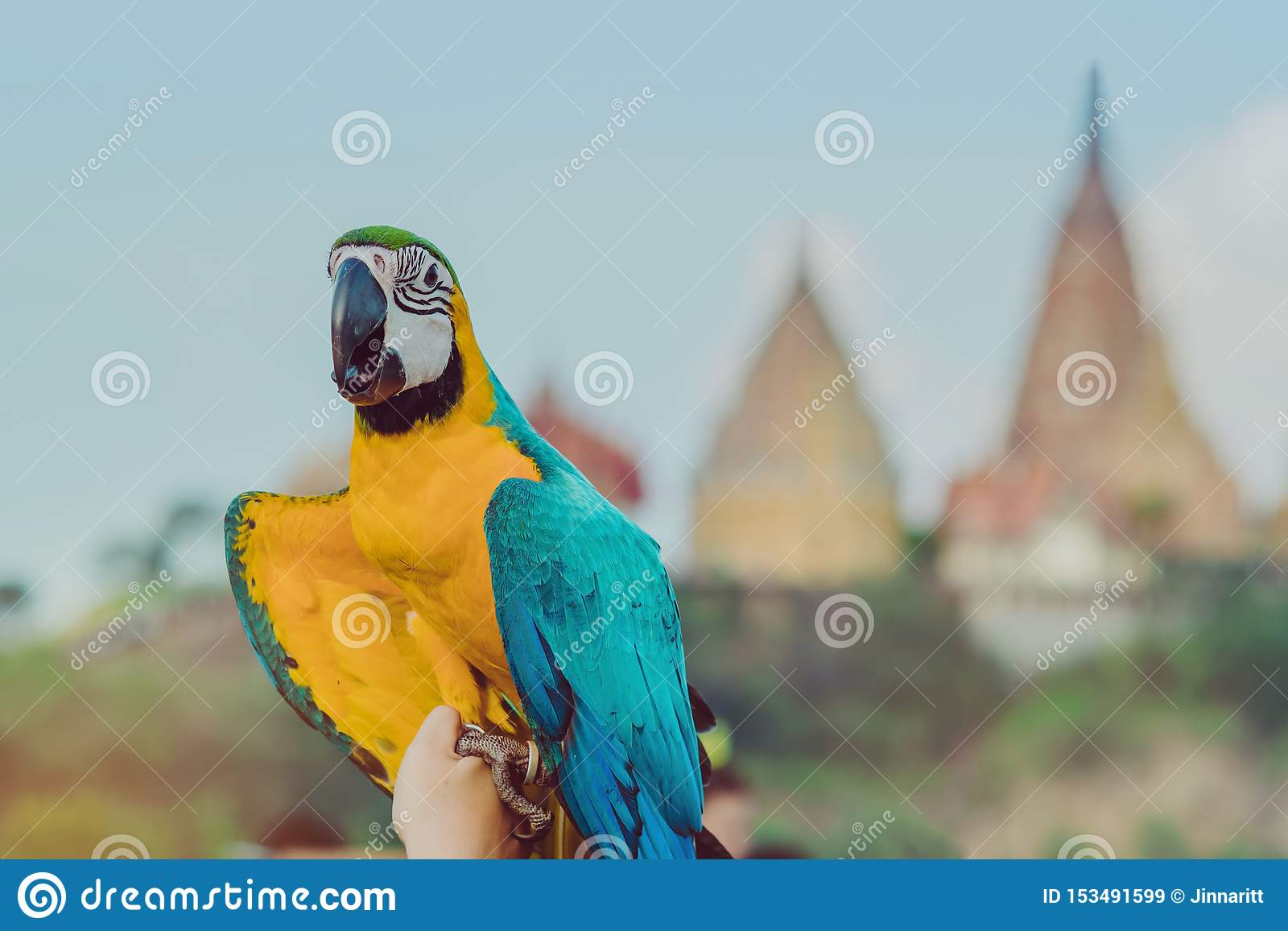 Blue and yellow macaw parrot wait to fly on the hand