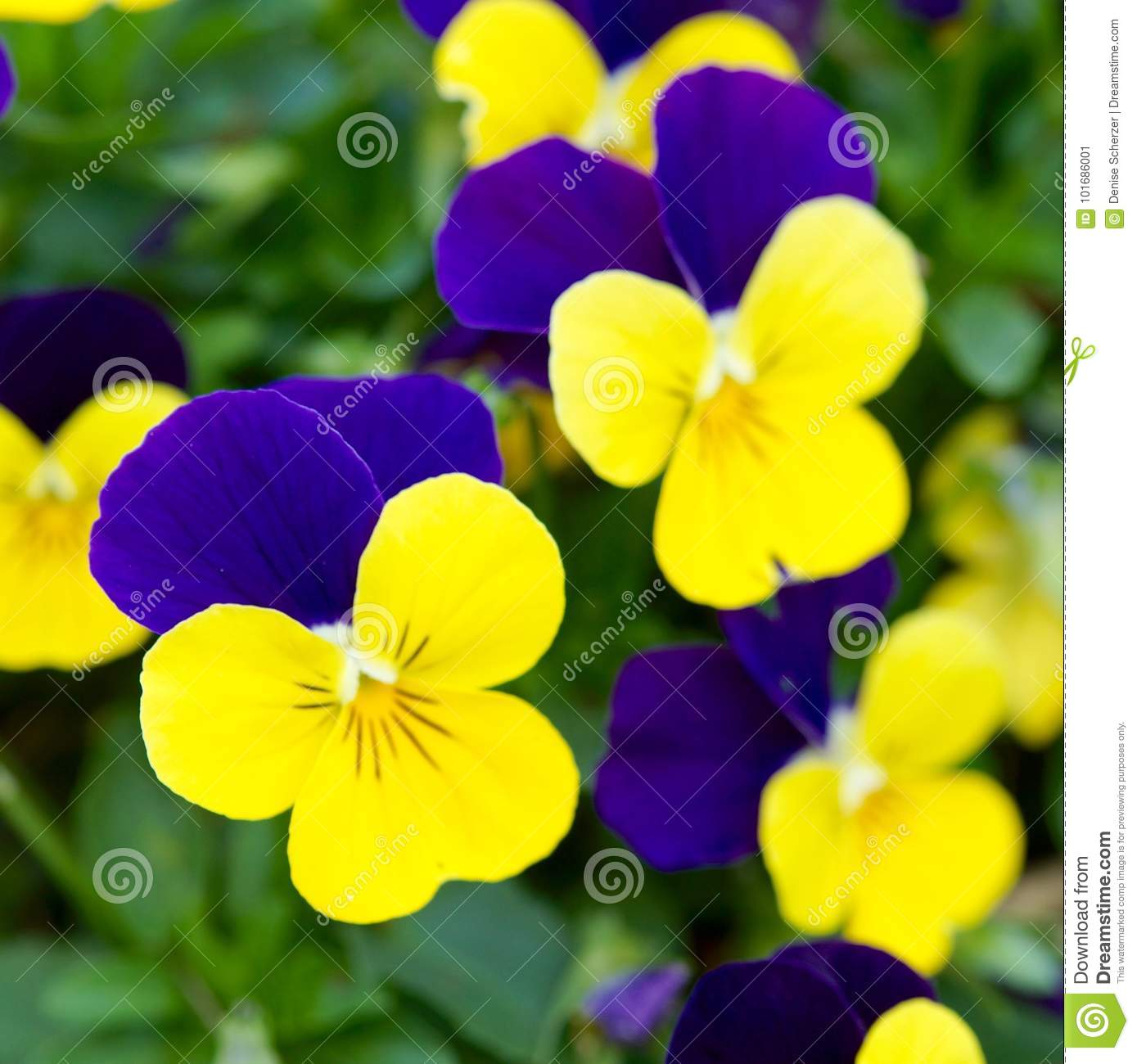 Blue And Yellow Pansy Flowers Stock Image Image Of Coloured