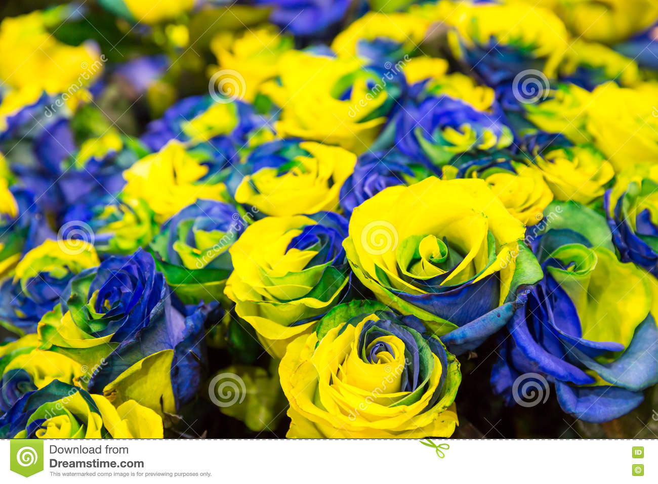 Blue And Yellow Roses Stock Photo - Image: 72467843 Beautiful Pictures Of Yellow Roses