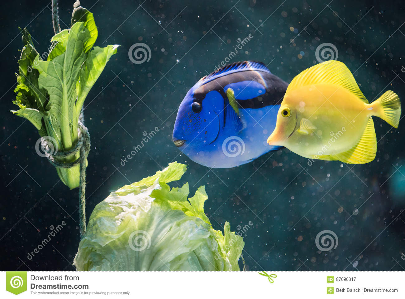 Blue and Yellow Tang Fish Eating Lettuce