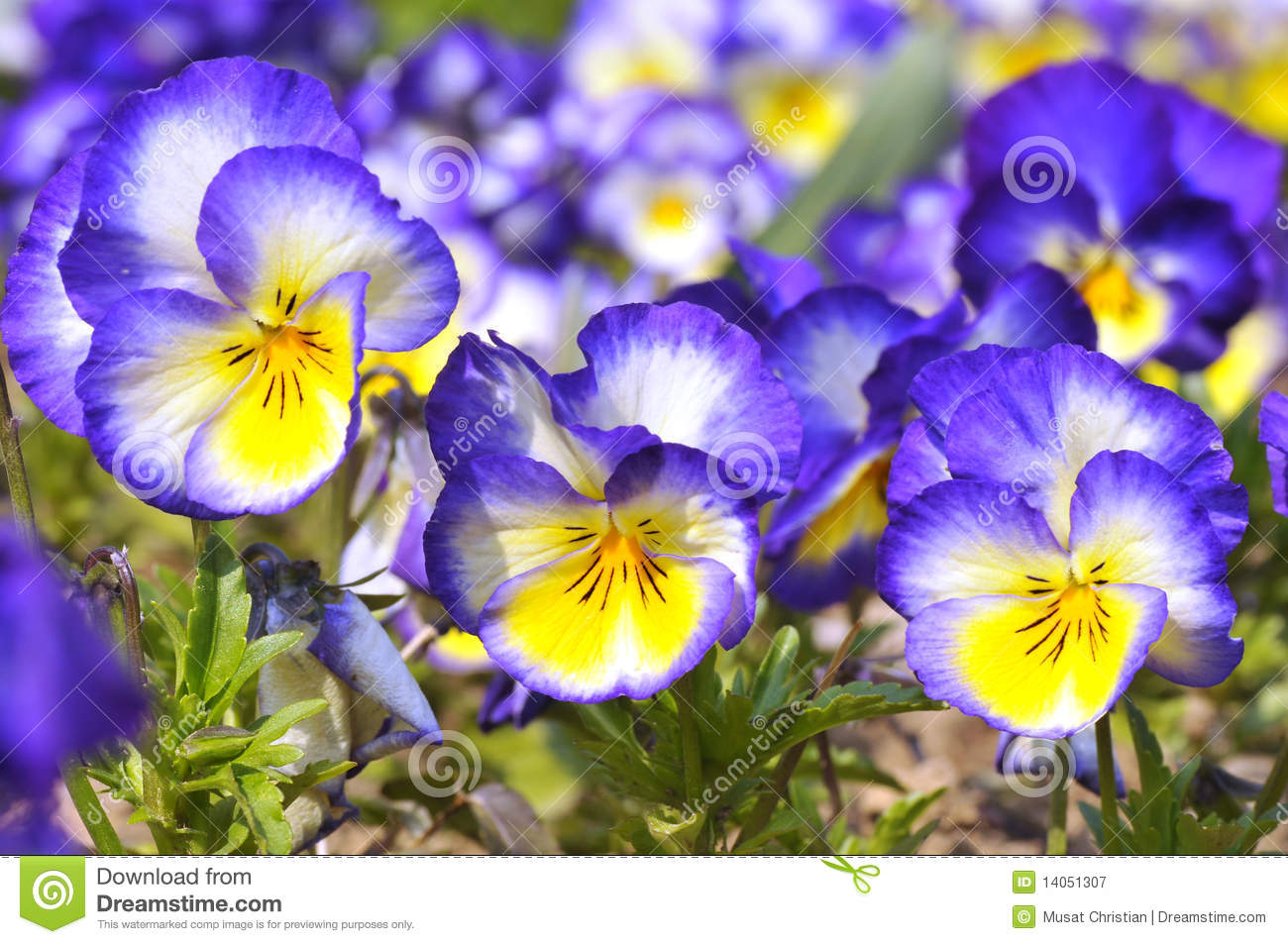 Blue and yellow flower images fresh lotus flowers blue and yellow violas flowers stock image image of horticulture mightylinksfo