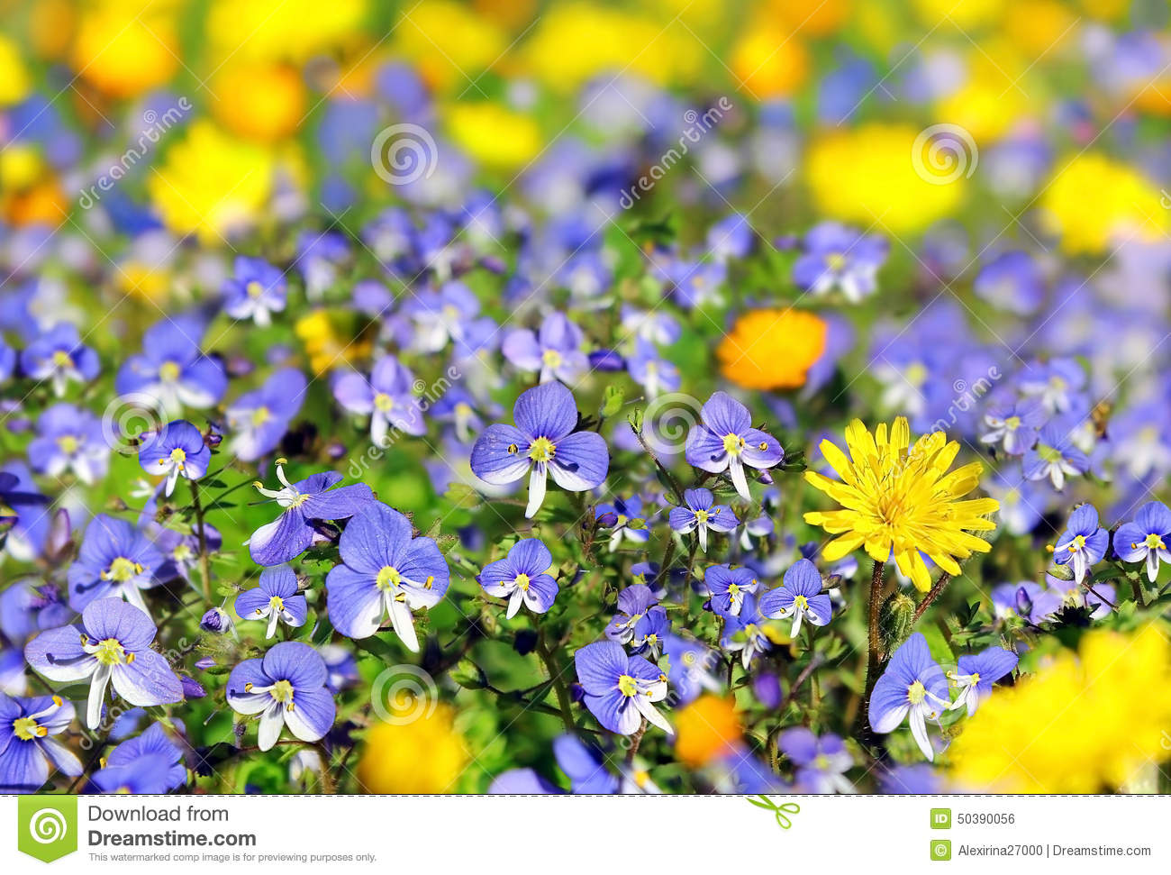 Blue And Yellow Wildflowers Stock Photo Image Of Beauty Flower