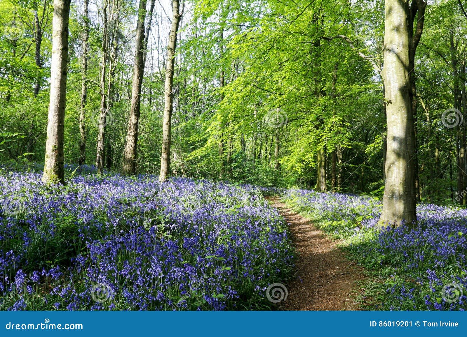 Bluebell drewno