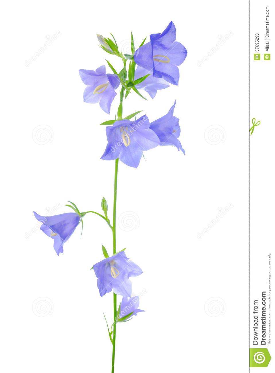 Bluebell Flower Is Isolated On A White Stock Illustration ...
