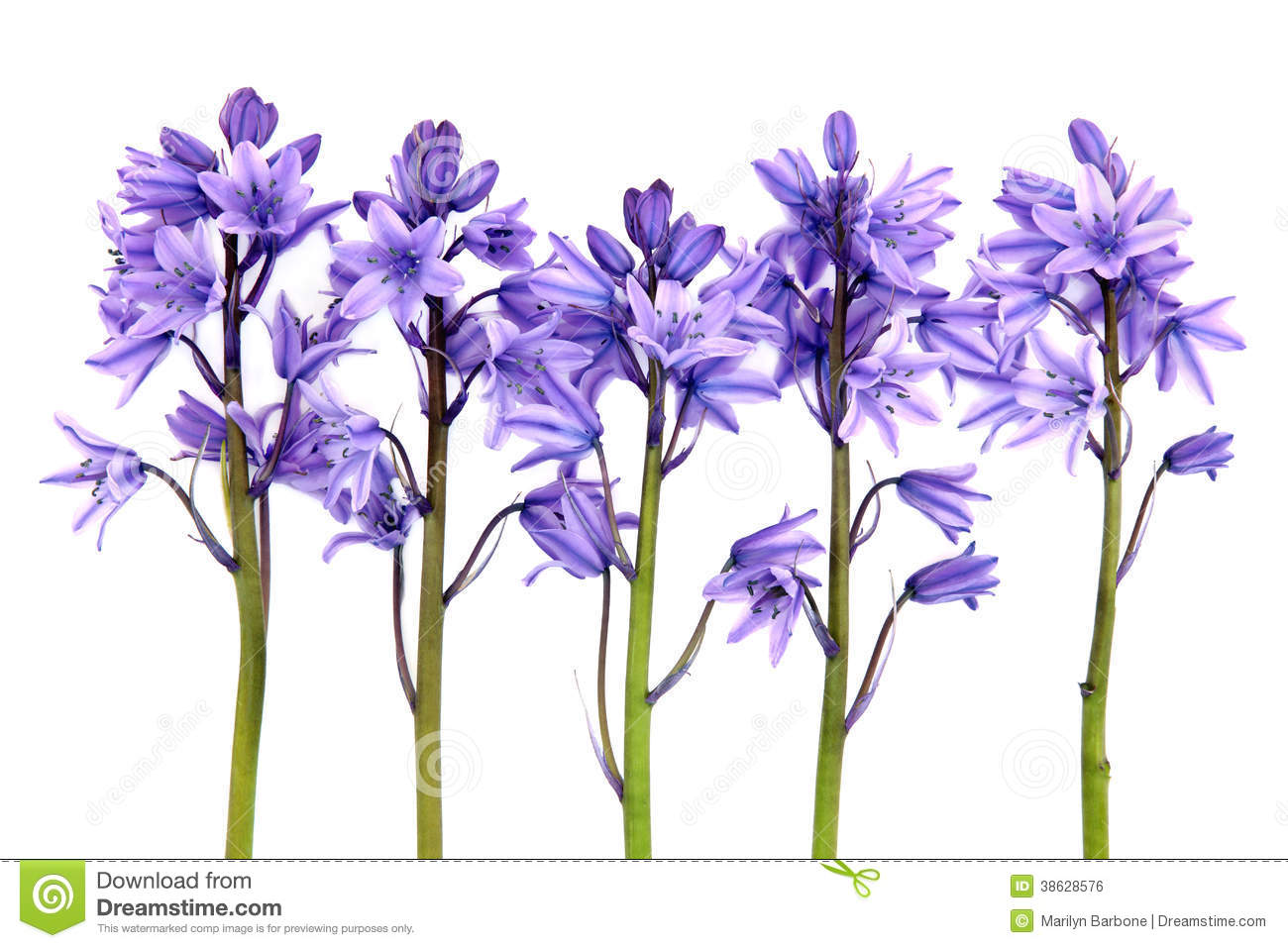 Bluebell flowers stock photo image of wildflower bluebells 38628576 bluebell flowers mightylinksfo