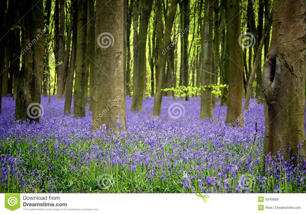 Bluebells Royalty Free Stock Image Image: 9240666 #93A12A