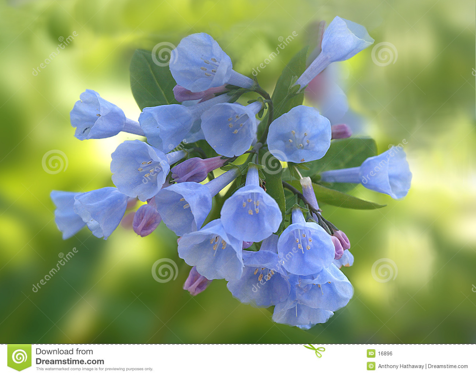 Bluebells de Virgínia