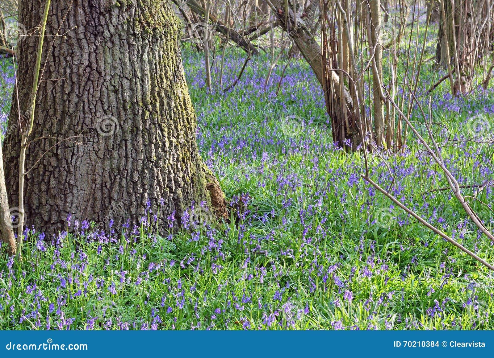 Bluebells in einem Holz