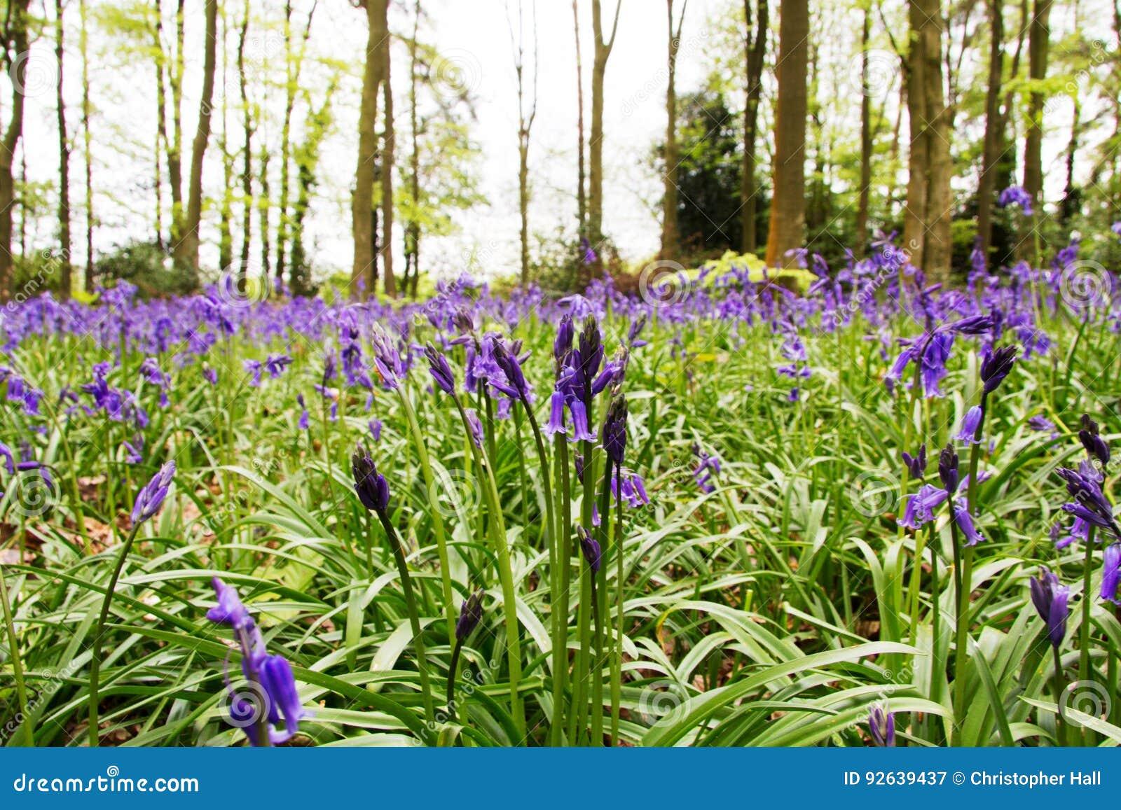 Bluebells r na angielskiej las podłoga