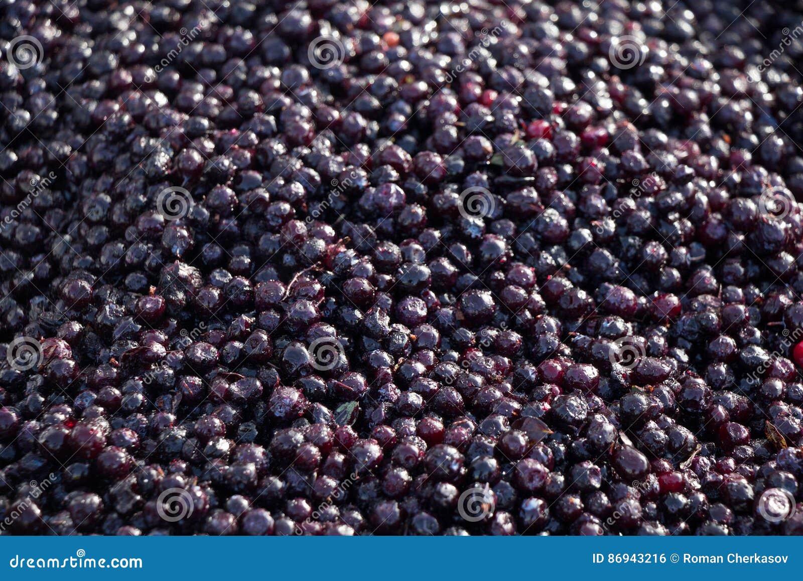 Blueberries. fresh berry