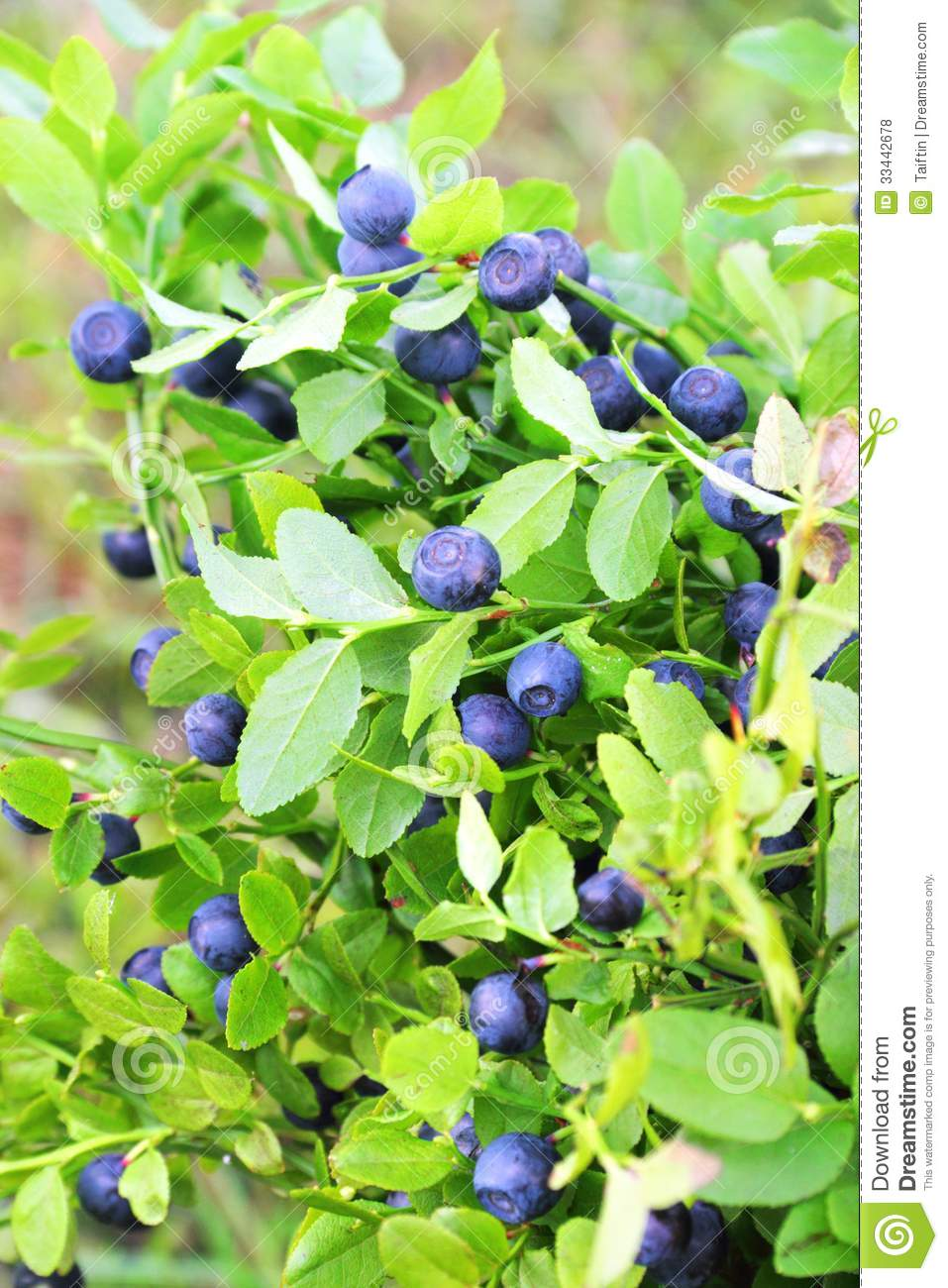 how to grow blueberries in philippines