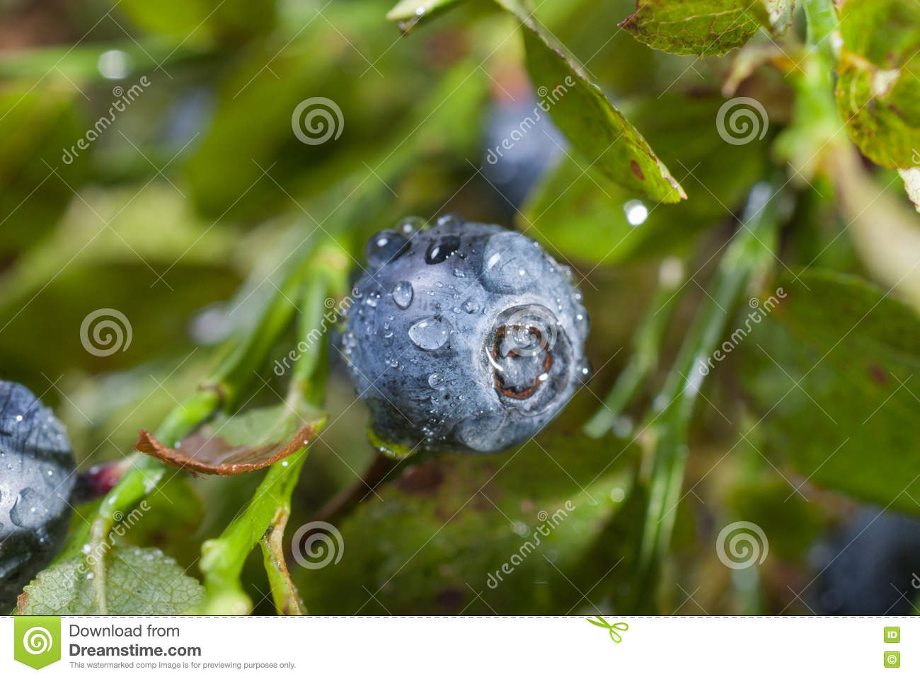 Blueberries With Water Drops After Codepad Rays Of The Sun Stock