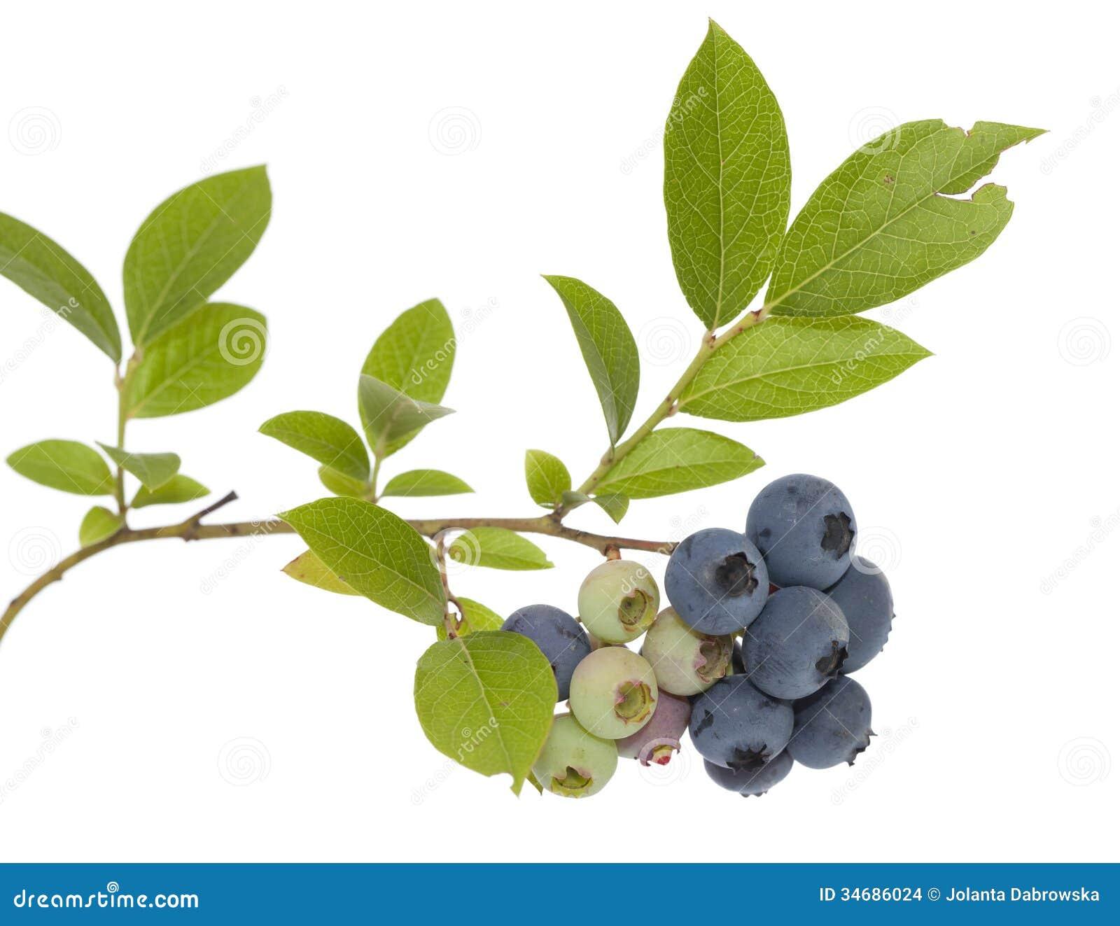 Blueberry Stock Images Image 34686024