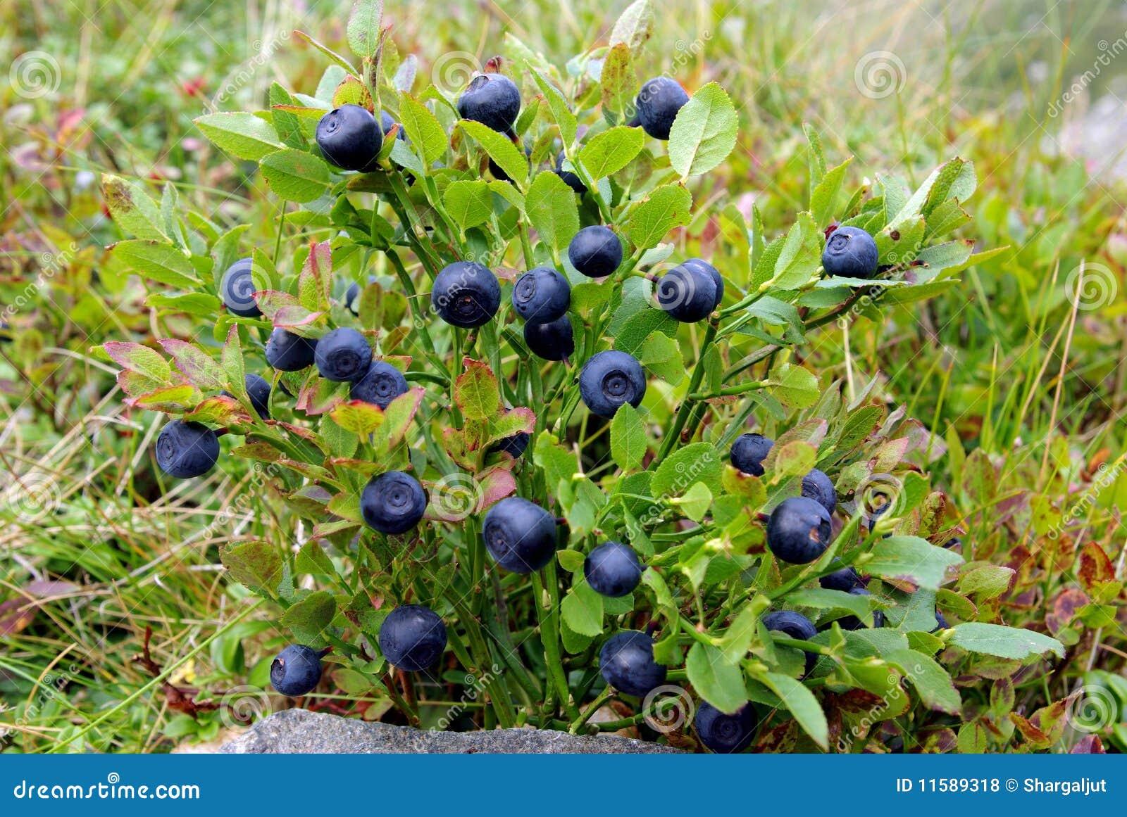 Blueberry Bush Stock Photo Image Of Healthfull Mountain