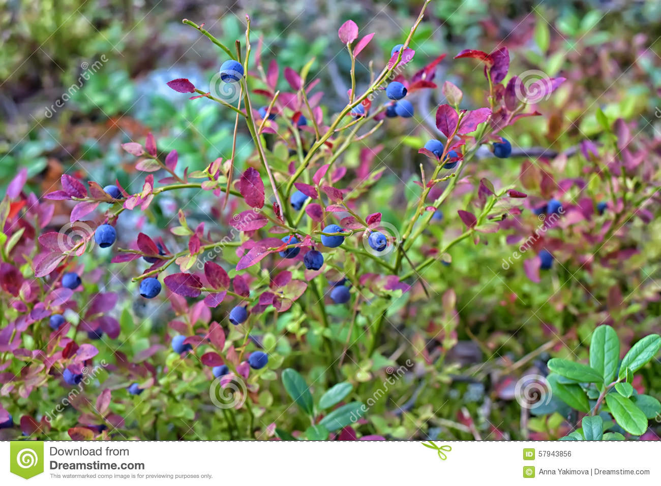 Blueberry Bush Free Images