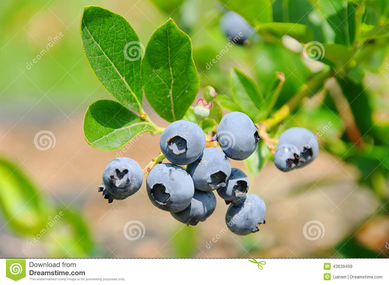 Blueberry on shrub