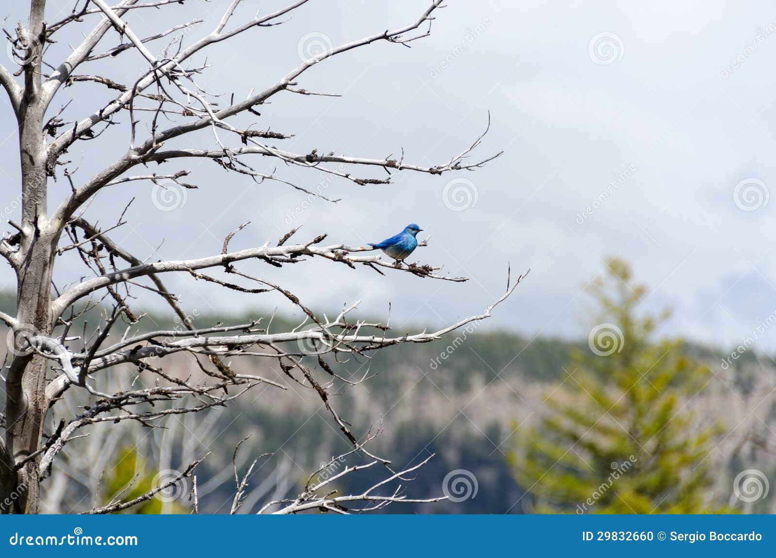 Bluebird da montanha em Yellowstone