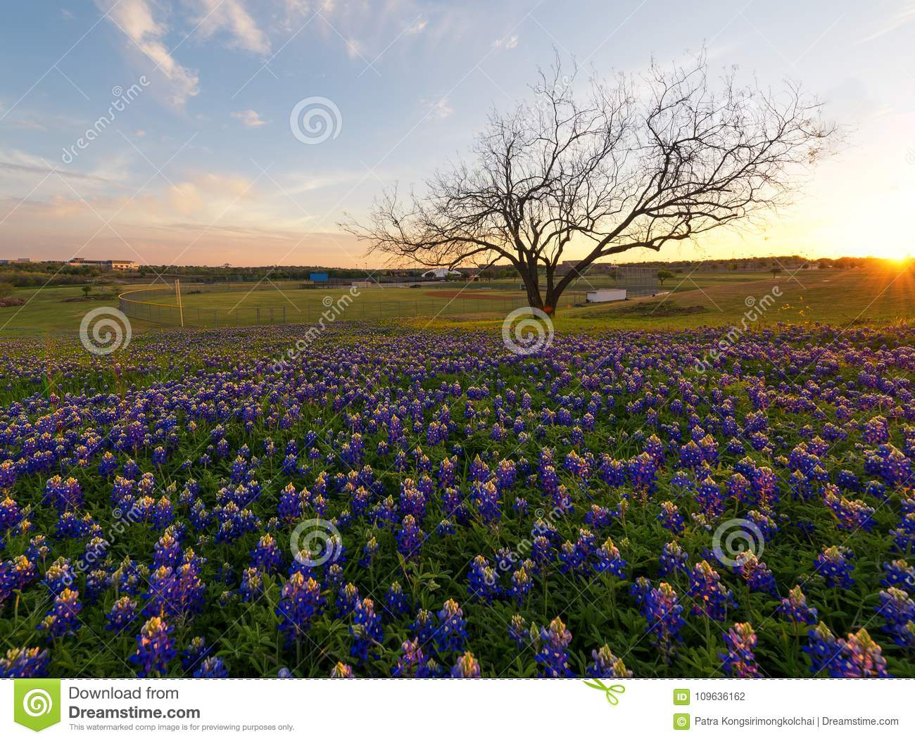 Bluebonnet Flowers Blooming In Irving Texas Stock Photo Image Of