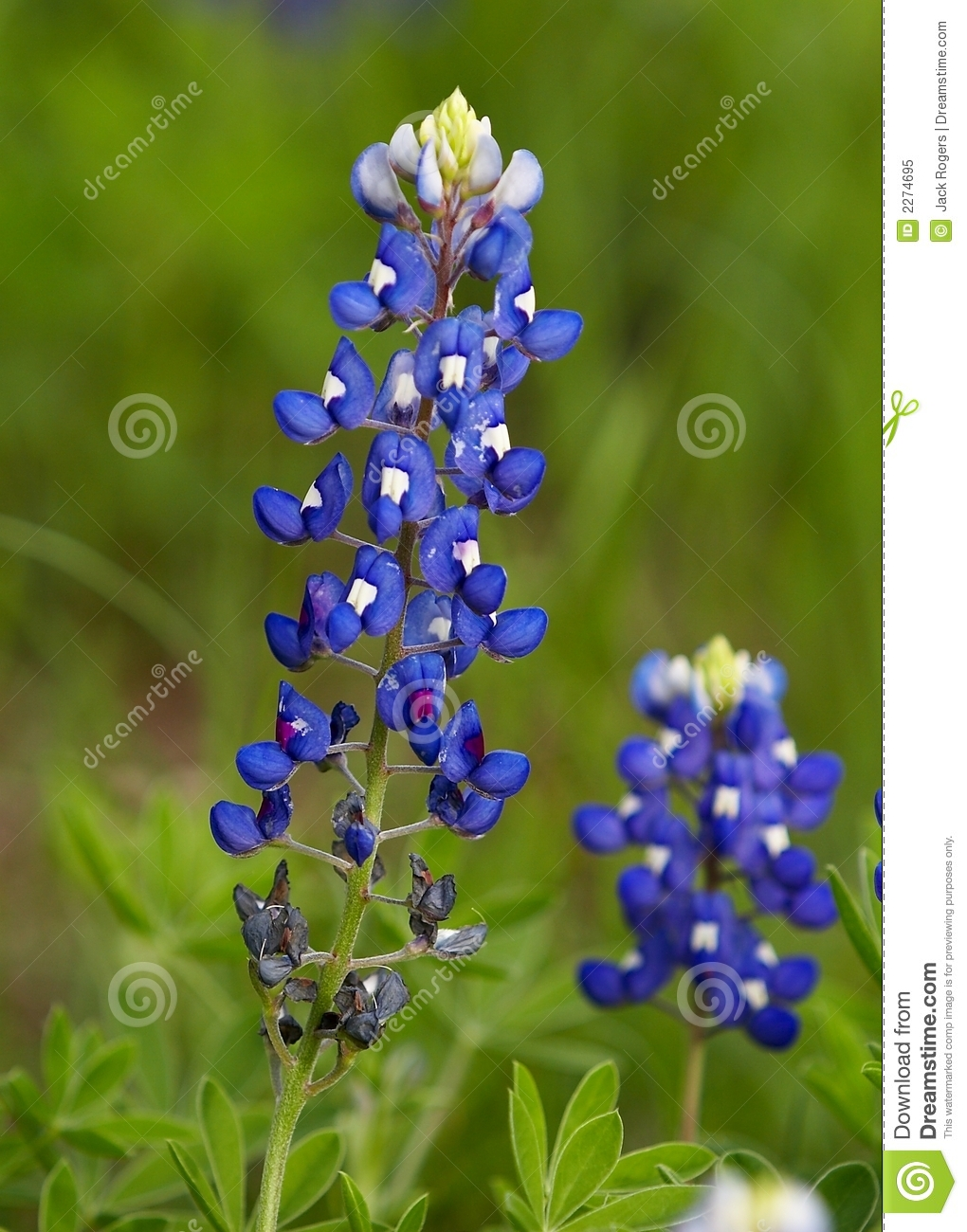 Bluebonnets Waterfall Pictures 98