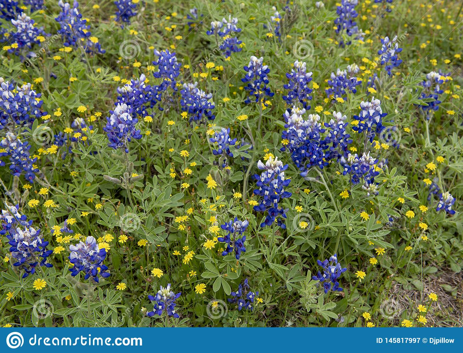 Bluebonnets And Dyc S Along The Bluebonnet Trail In Ennis Texas