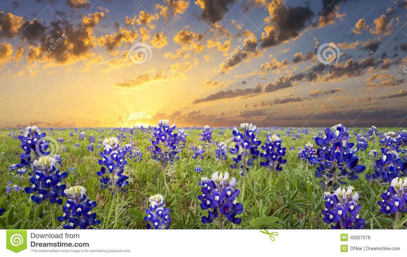 Bluebonnets no país do monte de Texas