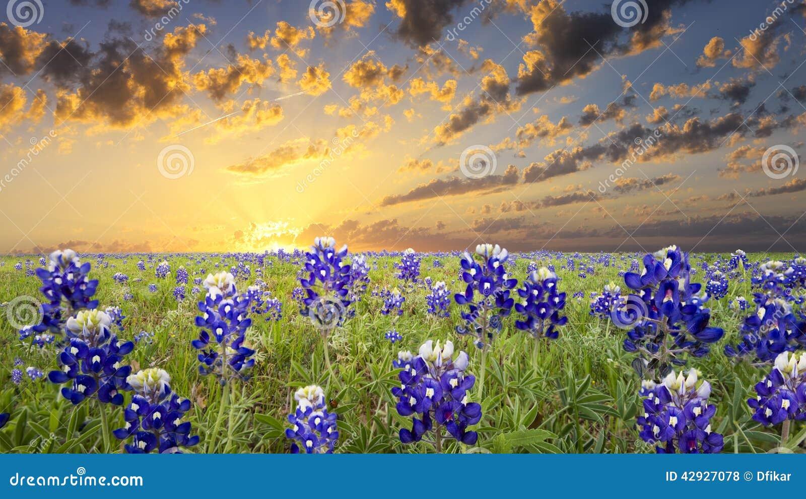 Bluebonnetslandskull texas