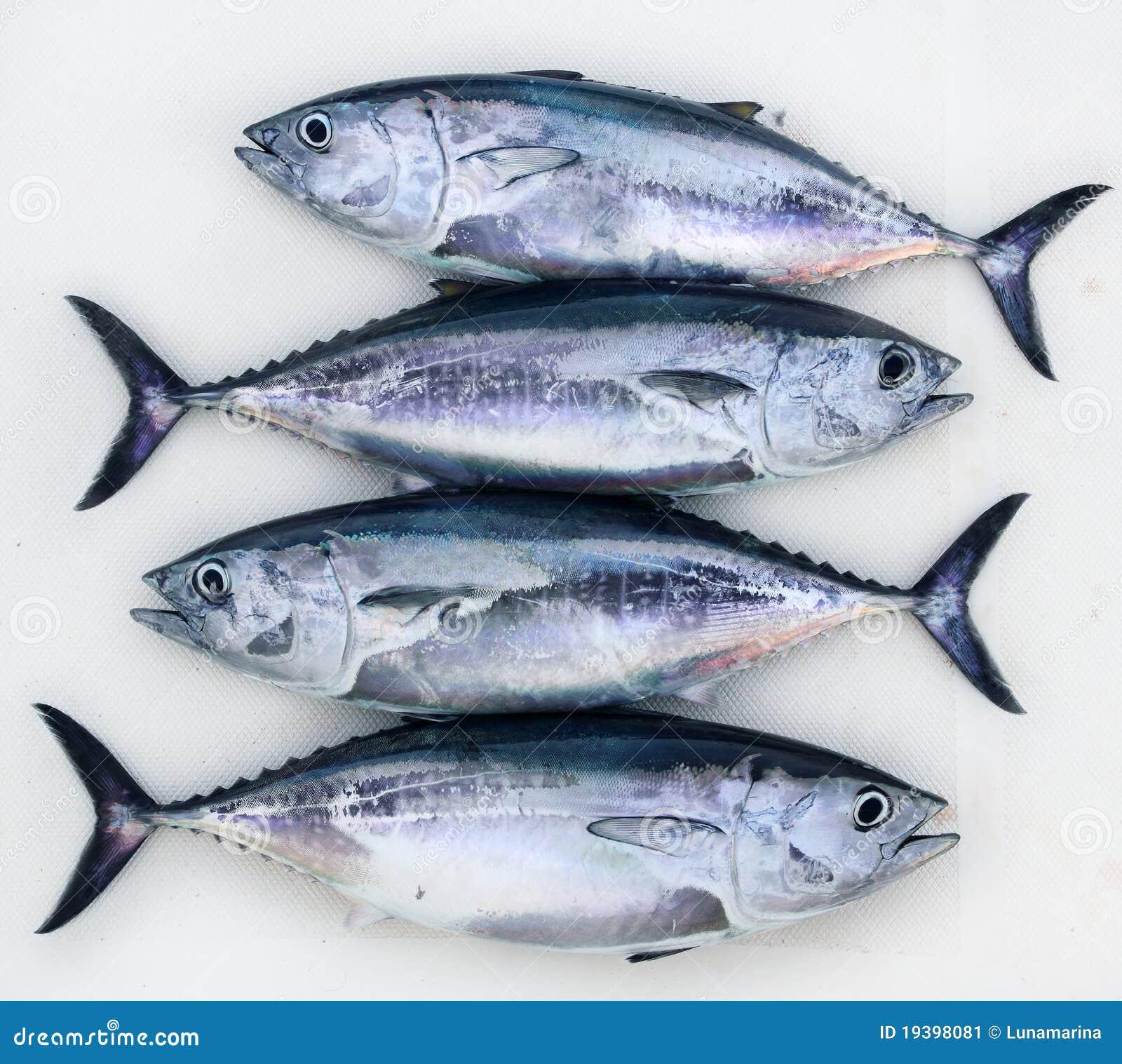 Bluefin four tuna fish thunnus thynnus catch row stock for Tuna fish price