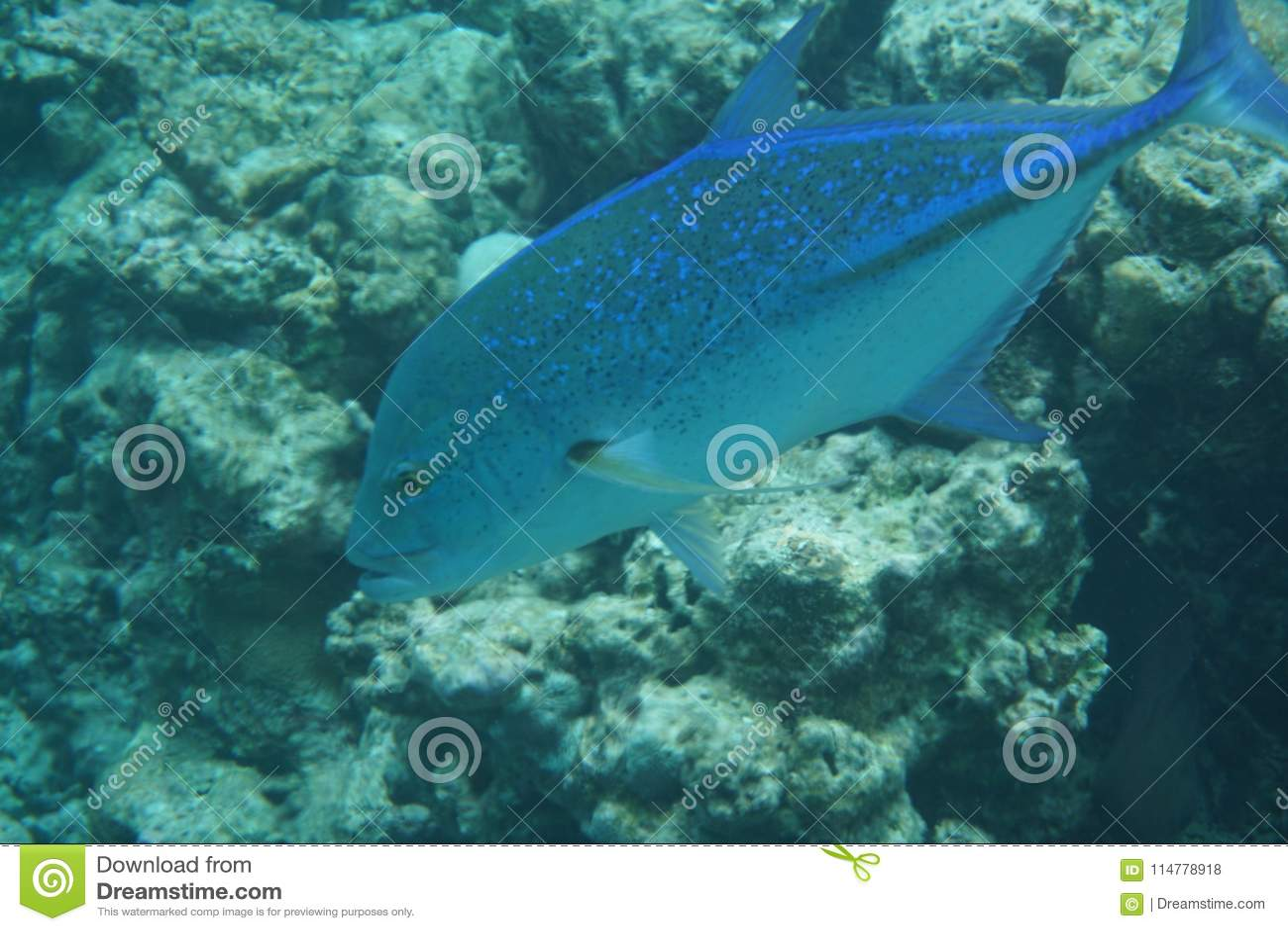 Bluefin trevally Caranx melampygus