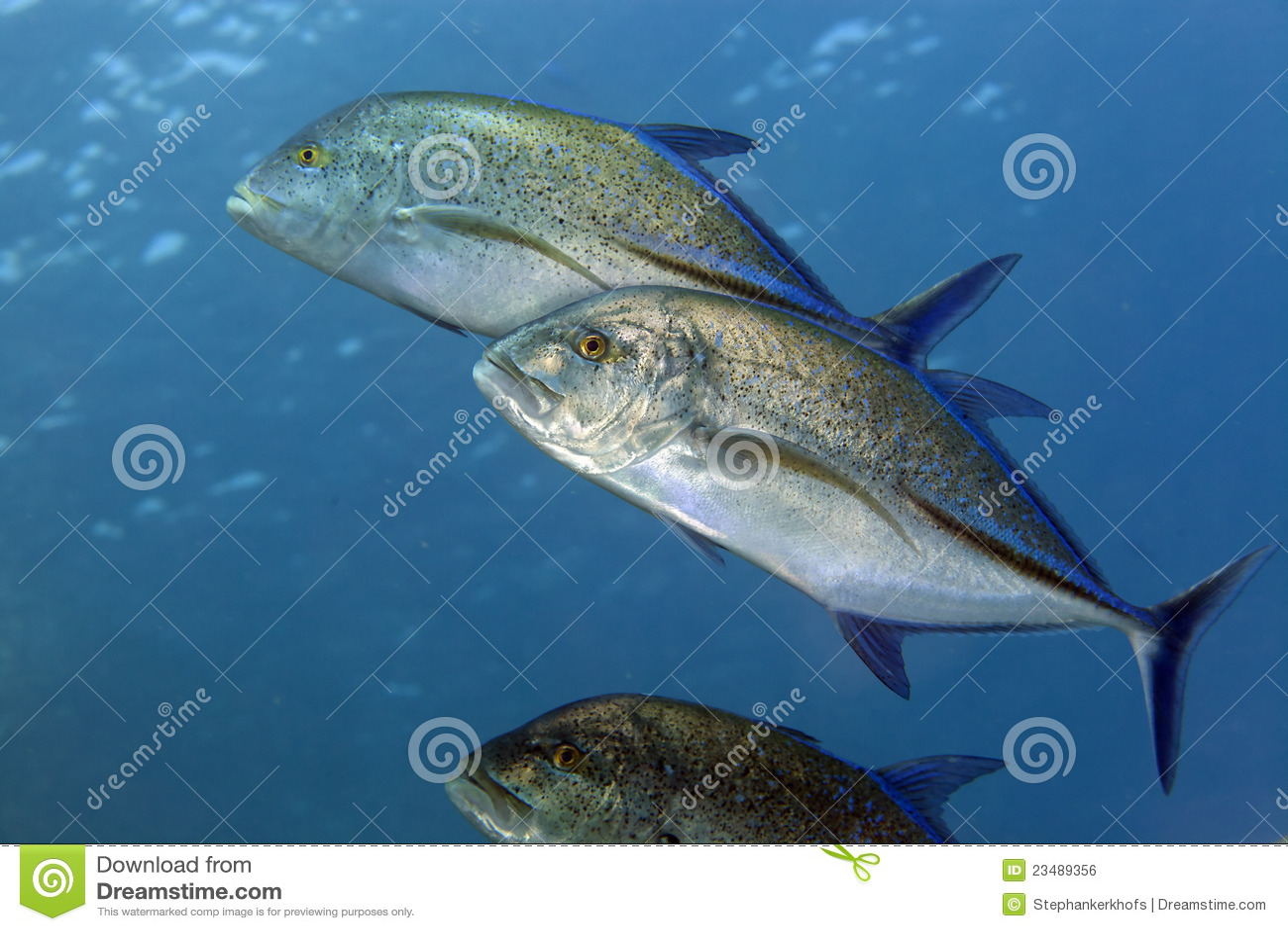Bluefin trevally w Czerwonym morzu. (caranx melampygus)