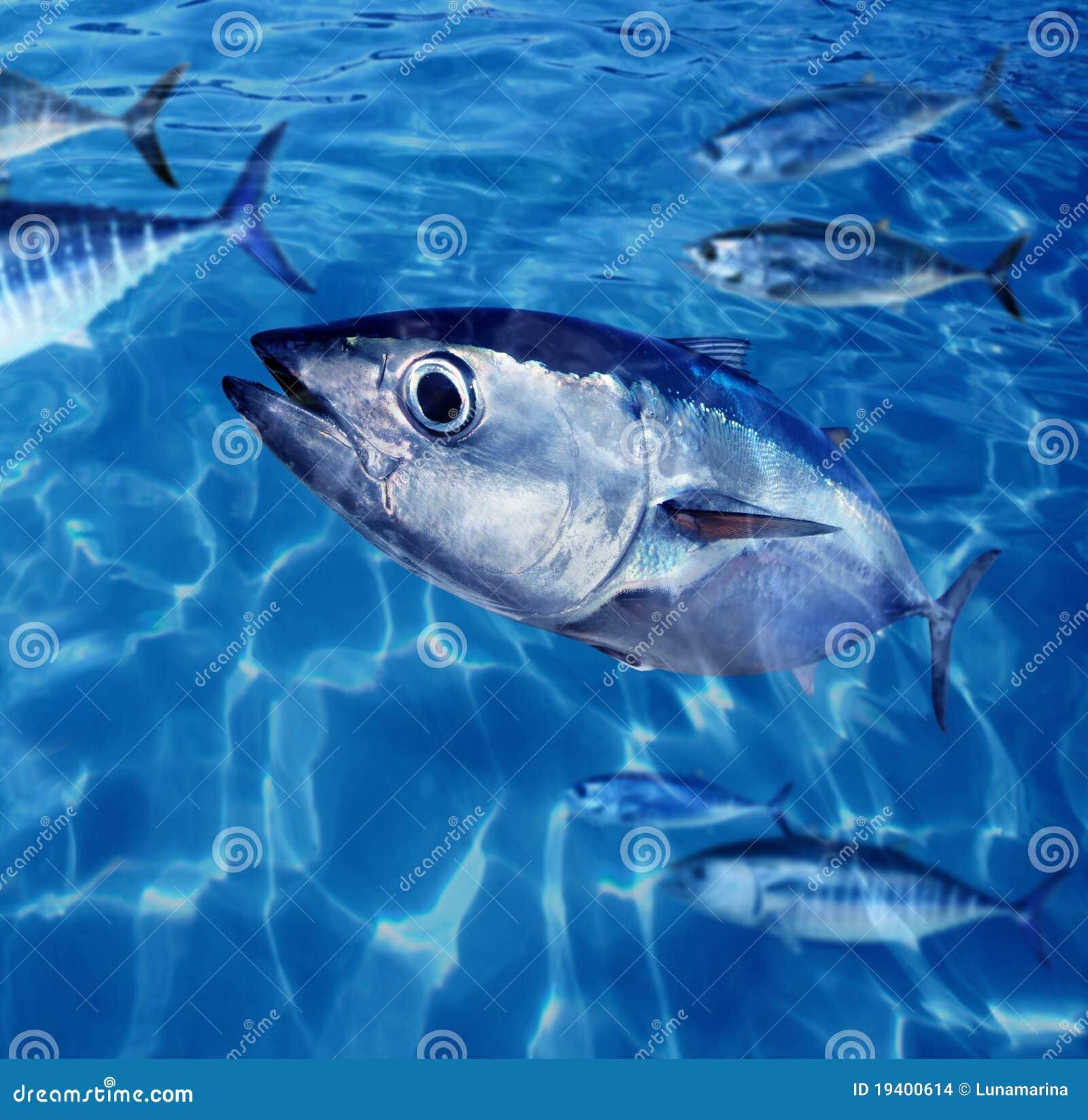 Bluefin tuna fish school underwater stock photo image for Tuna fish price