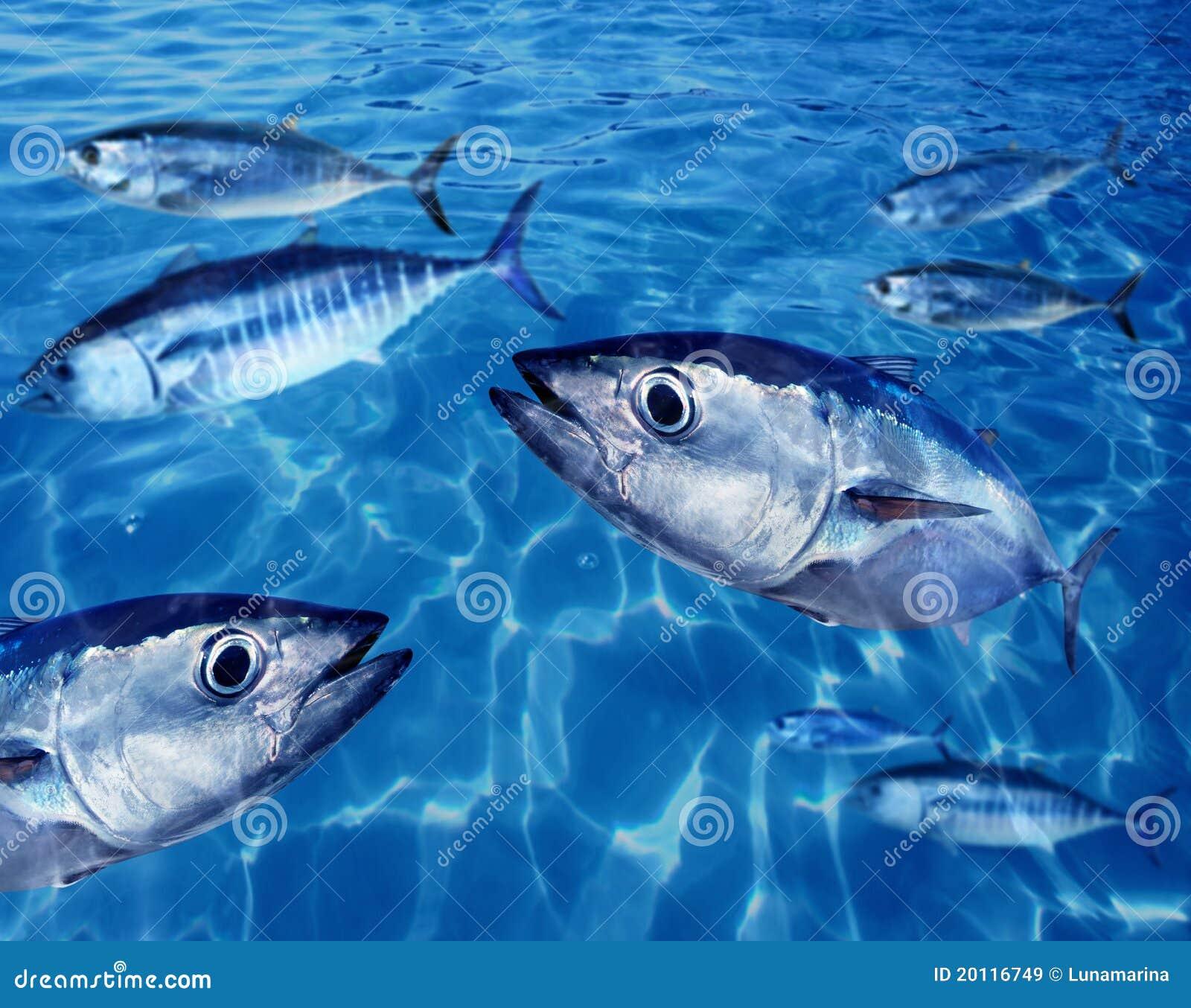 Bluefin tuna fish school underwater stock image image for Tuna fish price