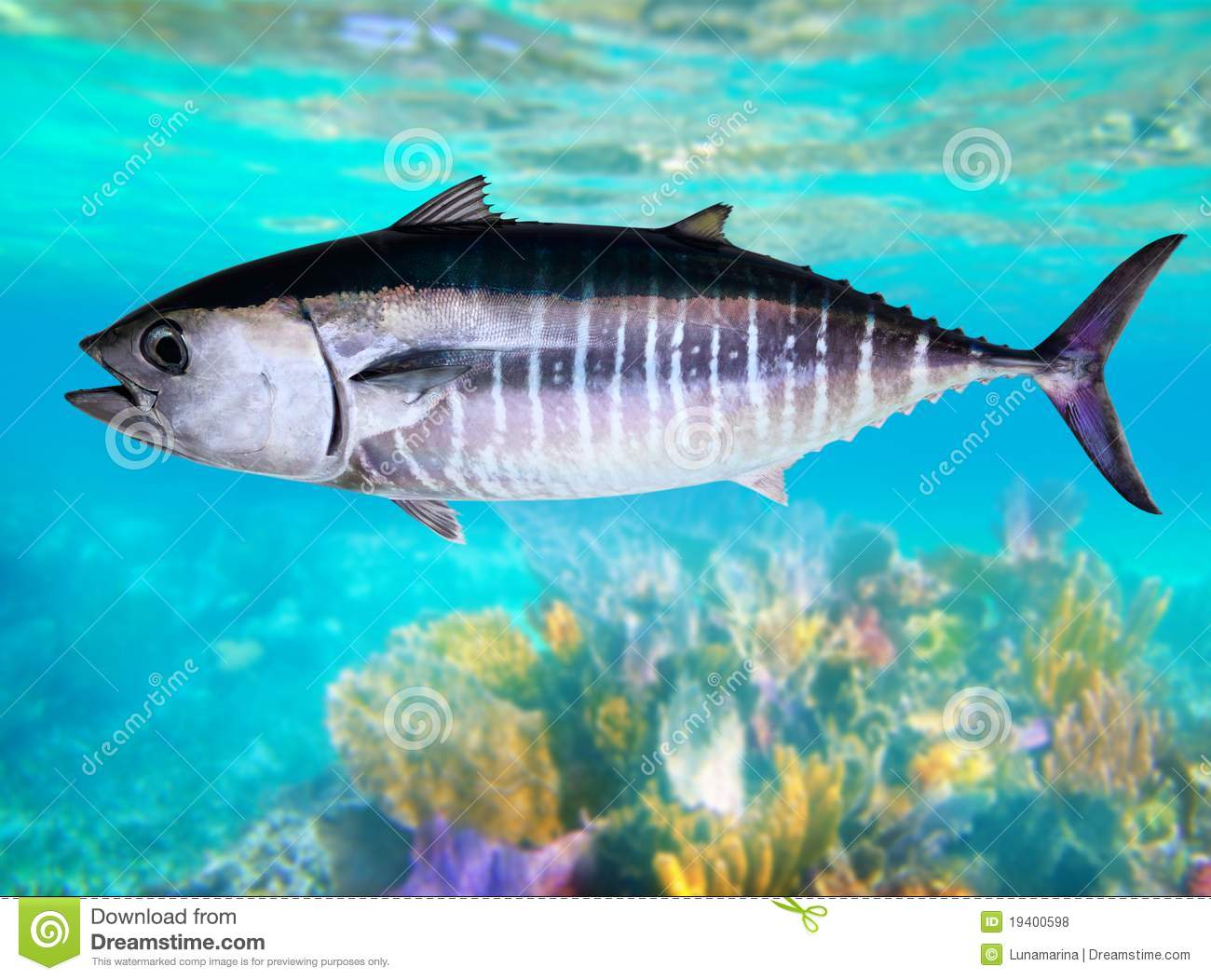 Bluefin tuna fish underwater swimming royalty free stock for Dream of fish swimming
