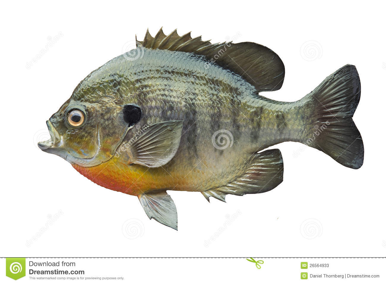 Bluegill sunfish isolated on white stock photos image for Blue gill fishing
