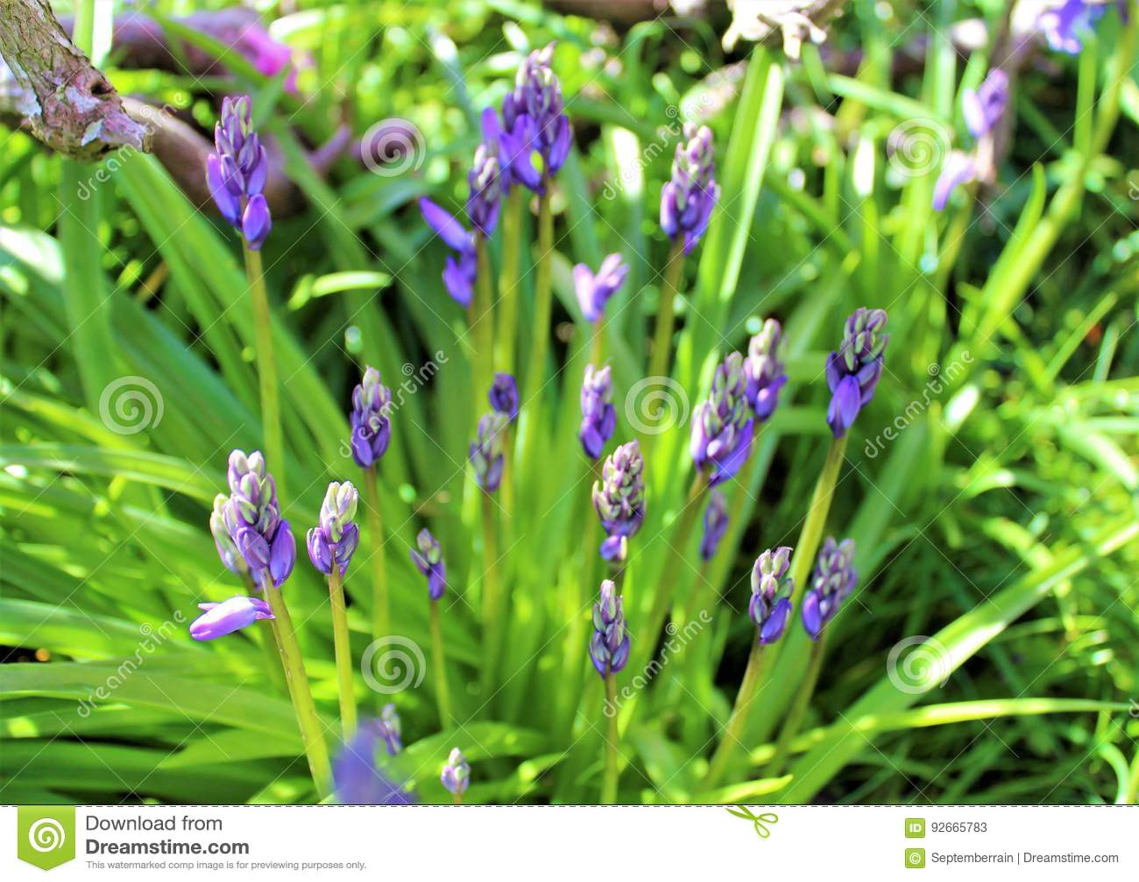Blueish bell flowers bloom in late spring stock image image of download blueish bell flowers bloom in late spring stock image image of bees fragrant mightylinksfo