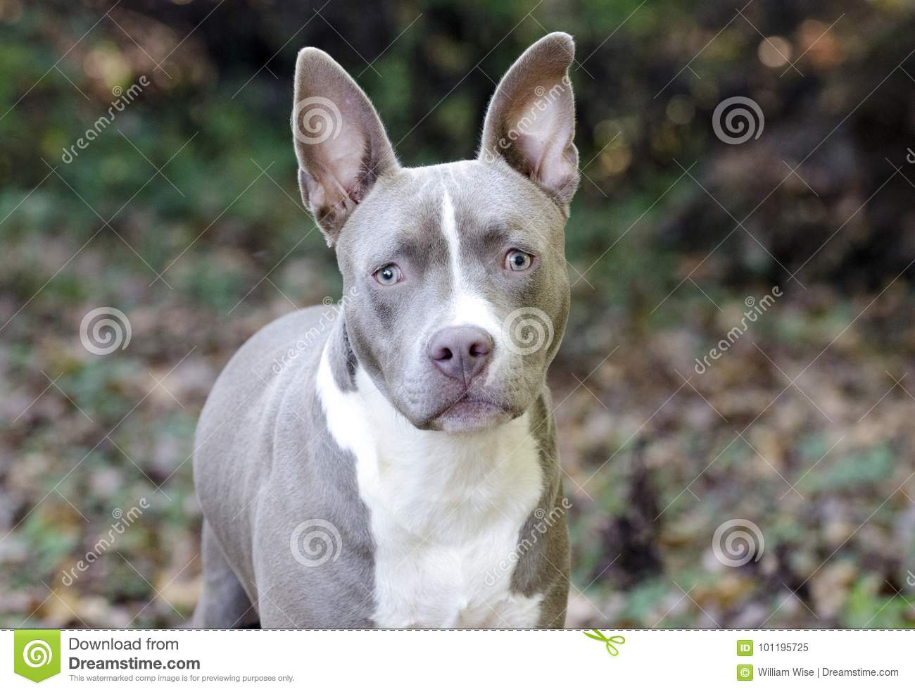 Bluenose Pitbull Terrier Mixed Breed Puppy Dog Stock Image